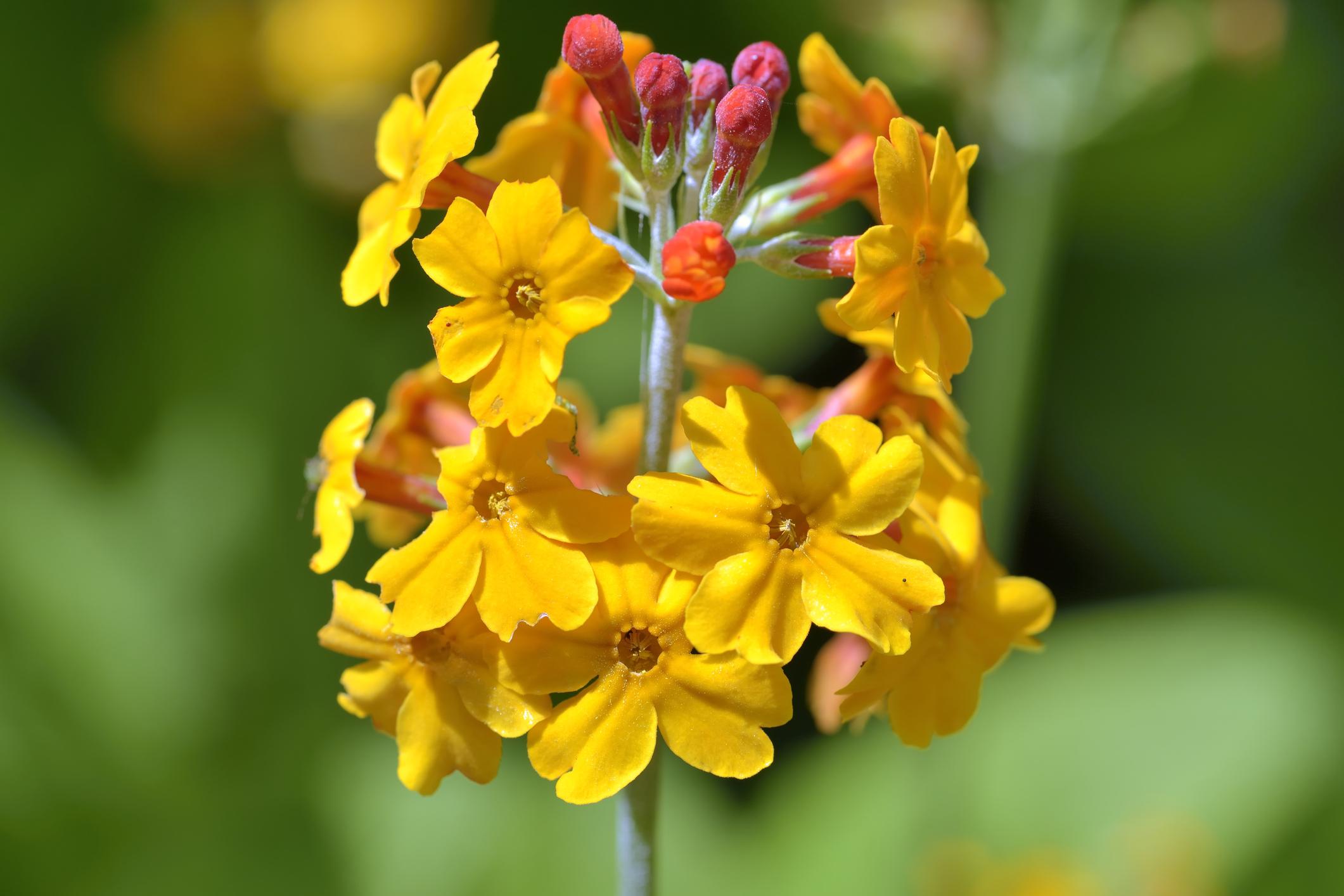 Primrose japonica, Japanese primrose, or Candelabra primrose tolerates wet feet. Combine with cinnamon or ostrich fern for spring display.
