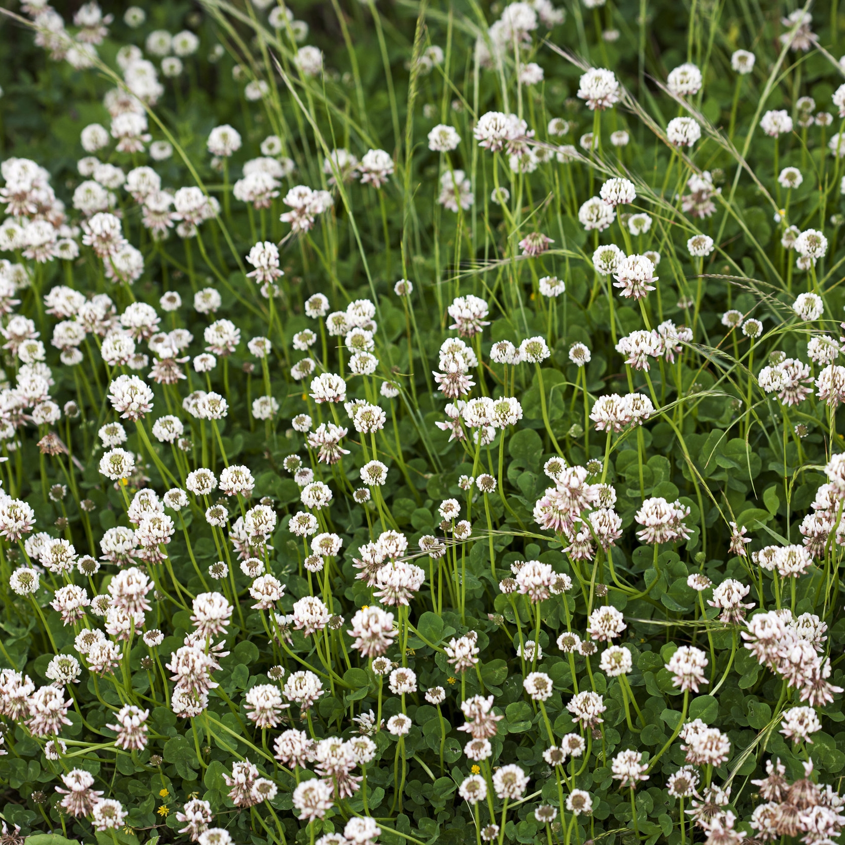 White Clover (Trifolium repens) - Annual or perennial: PerennialIndicates: Low fertility, low in nitrogen.Benefits: Clover is a nitrogen fixing plant (Nitrogen fixation:read about it here.).Edible: This one is edible, but should only be eaten fresh or dried. Taste ranking is low.Best way to get rid of it:Hand pulling, cultivation, application of mulch. Add more nitrogen and less phosphorous when fertilizing.
