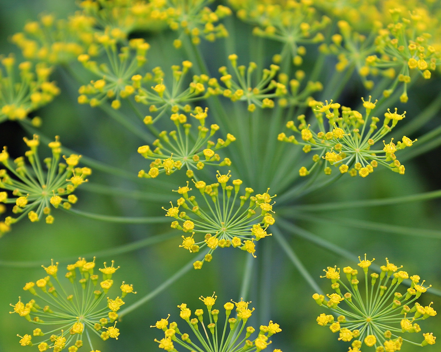 Dill: annual - Pollinators: ButterfilesBeneficials: Hoverfiles,predatory wasps, ladybugsCompanion plant for: BrassicasEdible parts: Foilage and seedBlooms: August-SeptemberSeed or transplant: SeedAdditional info: A million heath benefits, including preventing insomnia.
