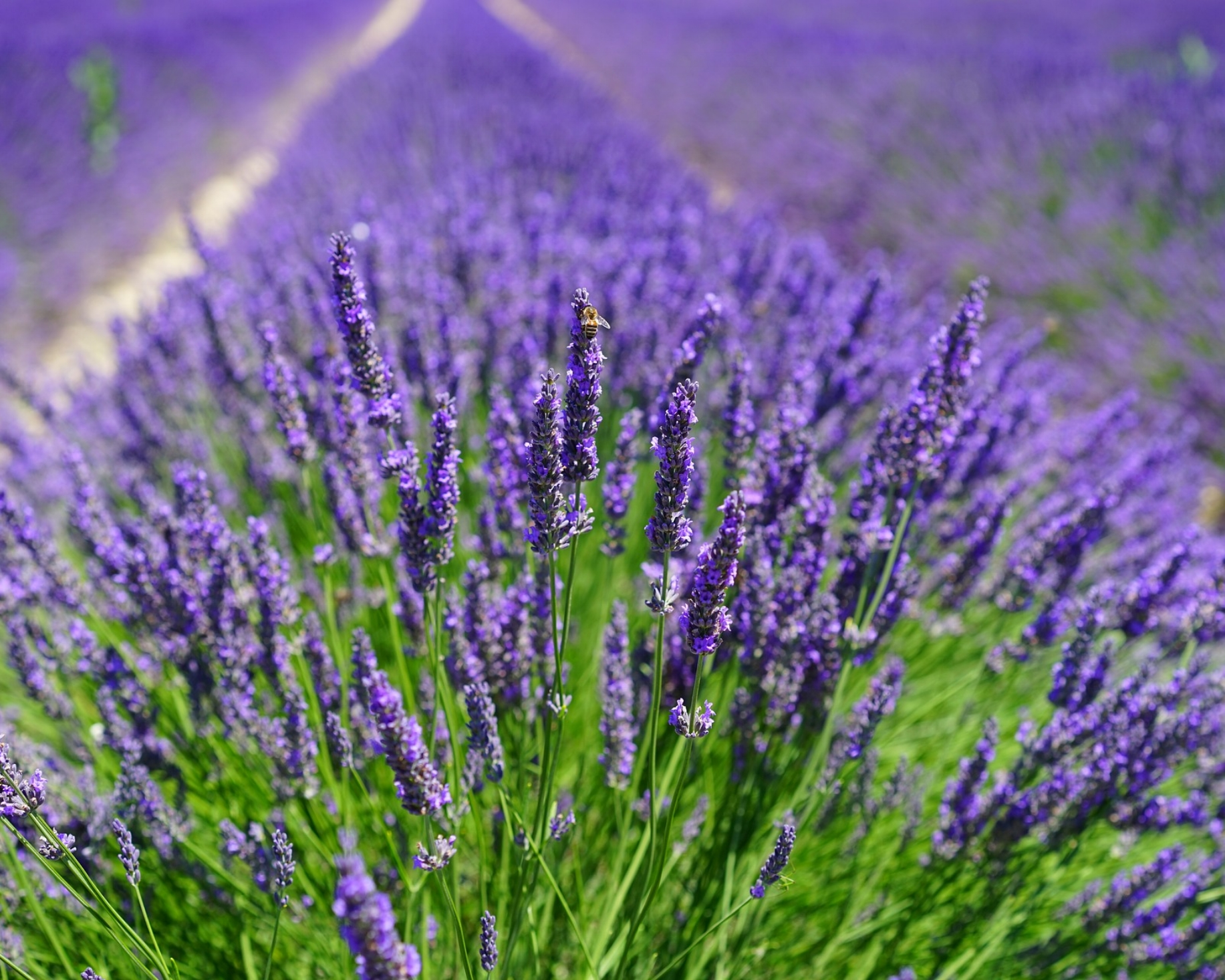 Lavender: perennial - Pollinators: Bees, butterfliesBeneficals: Ladybugs and lacewingsCompanion plants for: Cabbage and cauliflowerEdible parts: Read here about culinary lavender.Blooms: June-AugustSeed or transplant: TransplantsAdditional info: Use a lavender spray on your pillow for better sleep.