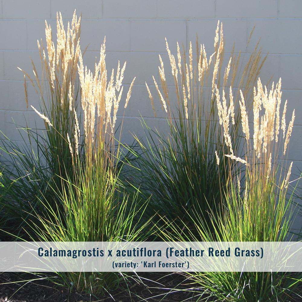 Zone: 4-9  Mature size: 3'-6' x 1'-2'  Cultural conditions: Full sun, average moisture.  Bloom: Fall