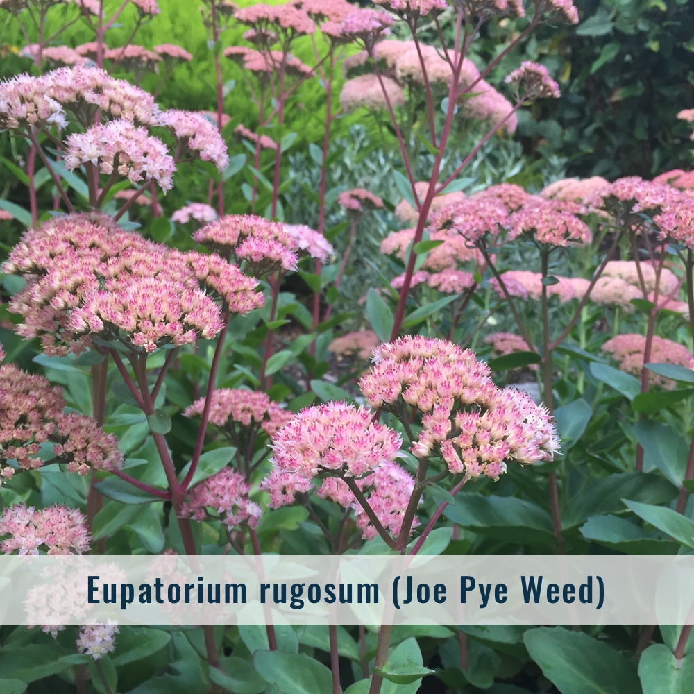 Zone: 4-9  Mature Size: 5'-7' x 2'-4' (Many new hybrids are much smaller and accommodating to the home gardener, not reaching over 2'-3' tall.)  Bloom: Late summer to early fall