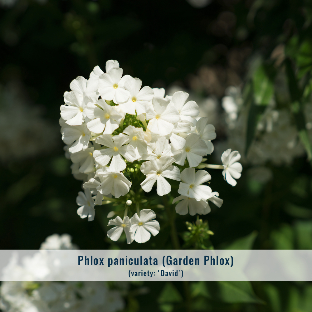Zone: 3-8  Mature size: 2'-4' x 2'-3'   Cultural conditions: Full sun to part shade, average moisture.  Bloom: Summer  Note: 'David' is a popular white cultivar, but there are many colors of summer phlox to choose from.