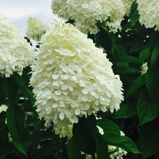 Hydrangea paniculata 'Limelight'  has been a best seller for years. It grows 6-8' x 6-8' and its lime blooms fade to pink. It's cone-shaped blooms are full and make great cut flowers. This is an easy hydrangea for beginners.