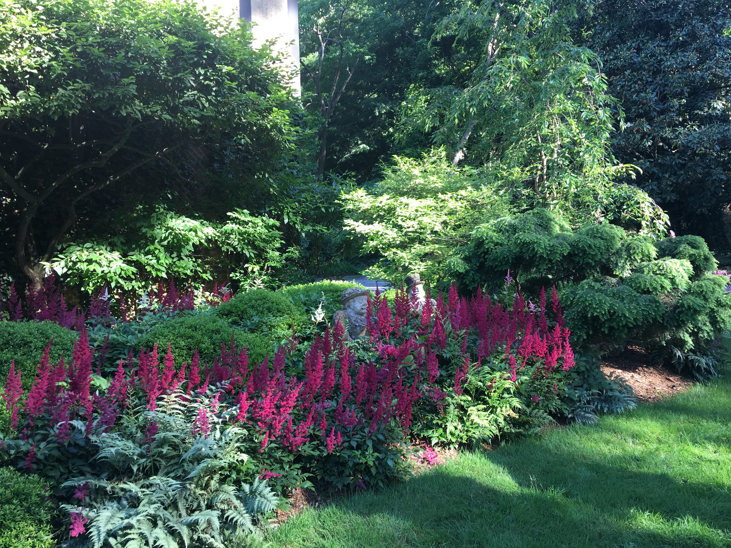 Astilbe 'Red Fanal', weeping hemlock, and boxwood