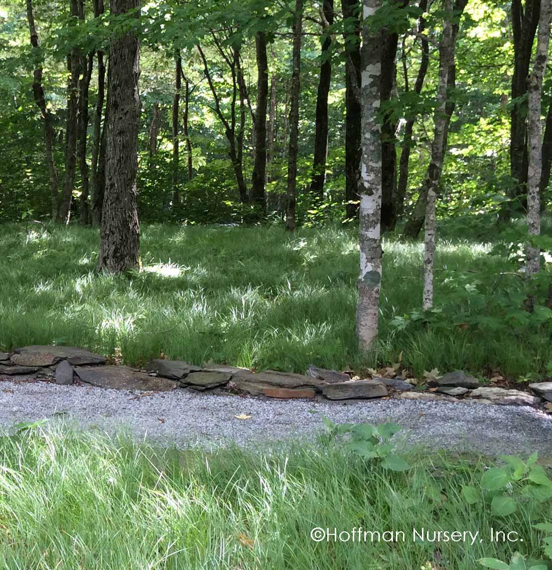 Carex pensylvanica - Zone: 4-8Native: YesEvergreen: Semi Foliage Color: GreenSpreads: RhizomesHeight: 6