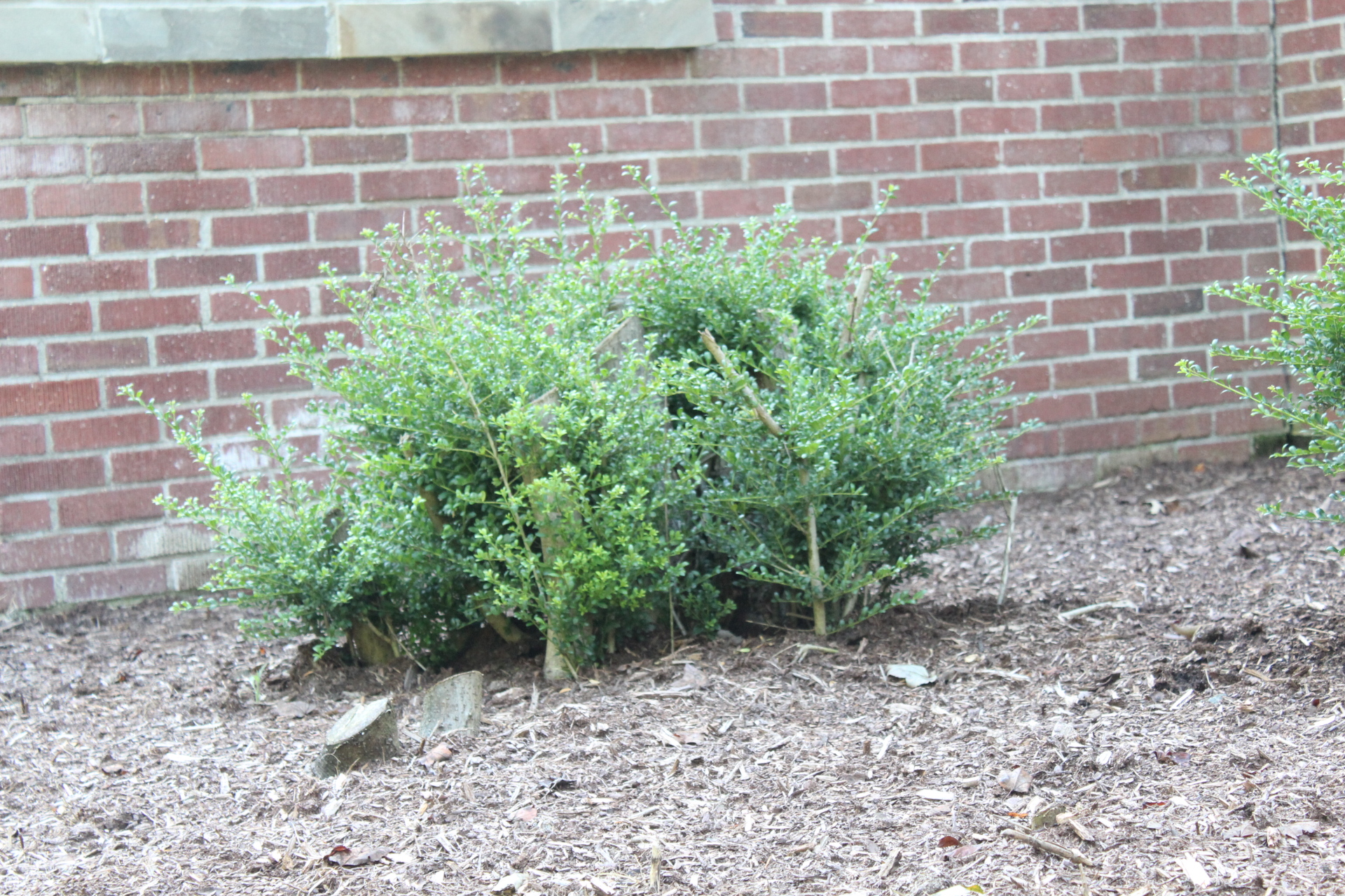 """By late August, the holly is 18"""" tall and growing. This type of pruning reinvigorates shrubs that are old, overgrown or sheared so many times the interior of the shrub is primarily dead twigs. It is a cost effective way to clean up the landscape. Not all shrubs respond to this kind of drastic pruning."""