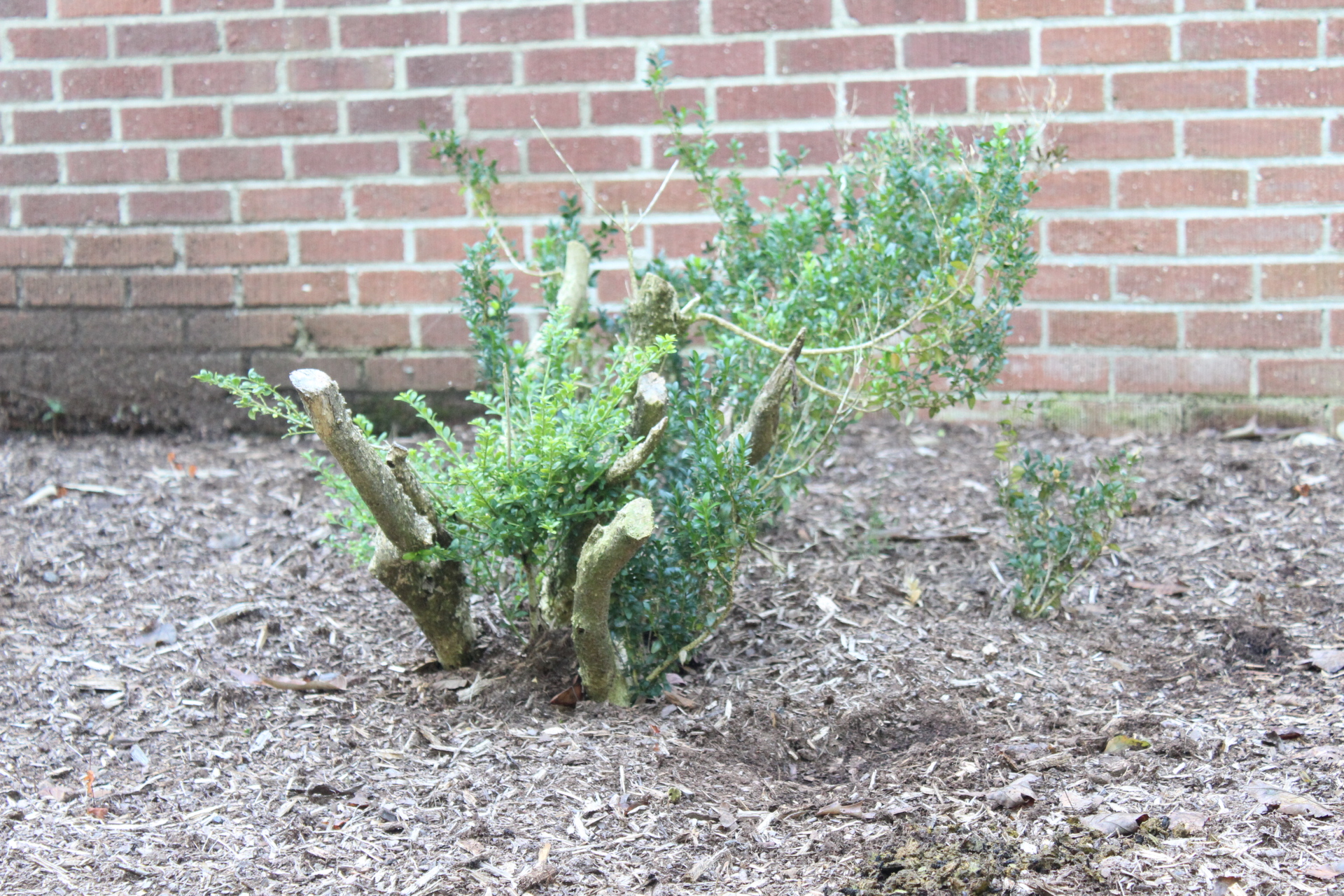 """This holly shrub was cut back hard to allow for rejuvenation in very early spring of this year.Typically, when doing rejuvenation pruning, you cut back to 6""""-12"""" so this one could have been cut back further. The following picture shows the results."""
