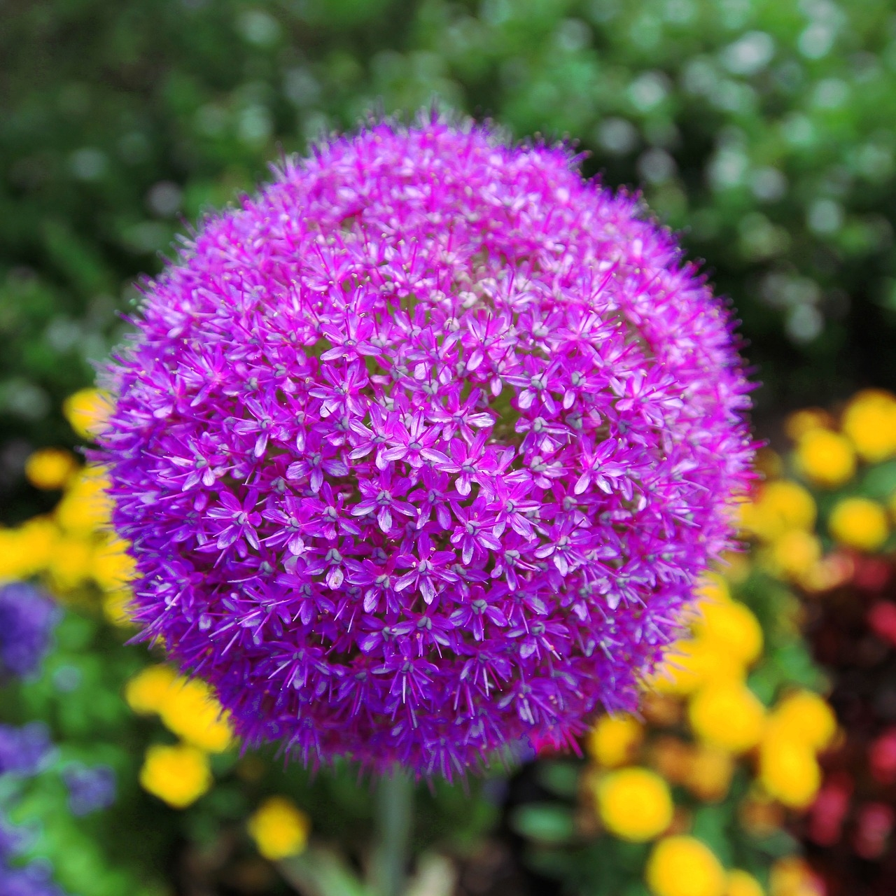 """Allium 'Gladitor' (Flowering Onion) - Zone: 4-9Bloom Size: 7-8"""" acrossHeight: 3-4' tallPlant: 6"""" deepSpace: 6-8"""" apartSun/Shade: Full sunBloom Time: May-JunePlacement: Place behind peonies or other big-leaf spring blooming perennials to hide foliage after flowers are spent."""