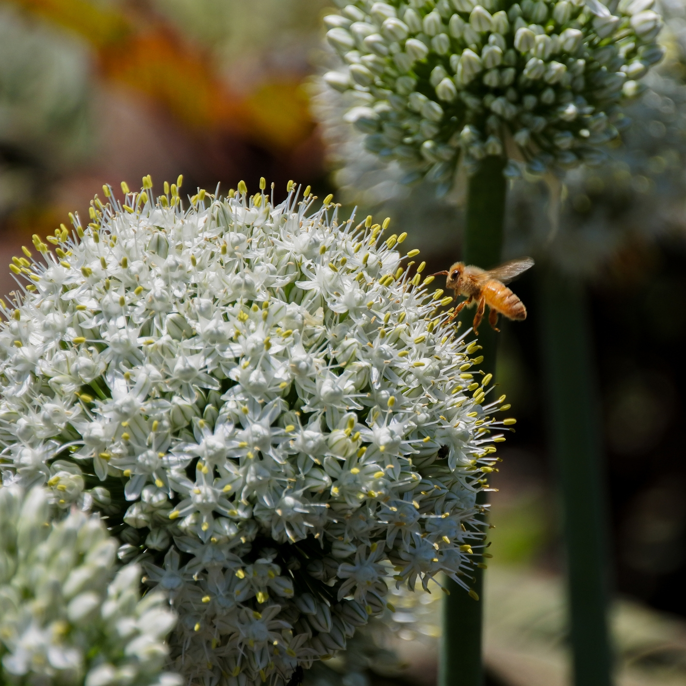 """Allium 'Mt. Everest' (Flowering Onion) - Zone: 4-9Bloom Size: 7"""" acrossHeight: 3-4""""Plant: 6"""" deepSpace: 6-8"""" apartSun/Shade: Full sunBloom Time: May-JunePlacement: Plant with 'Walker's Low' catmint, or 'Globemaster' allium"""