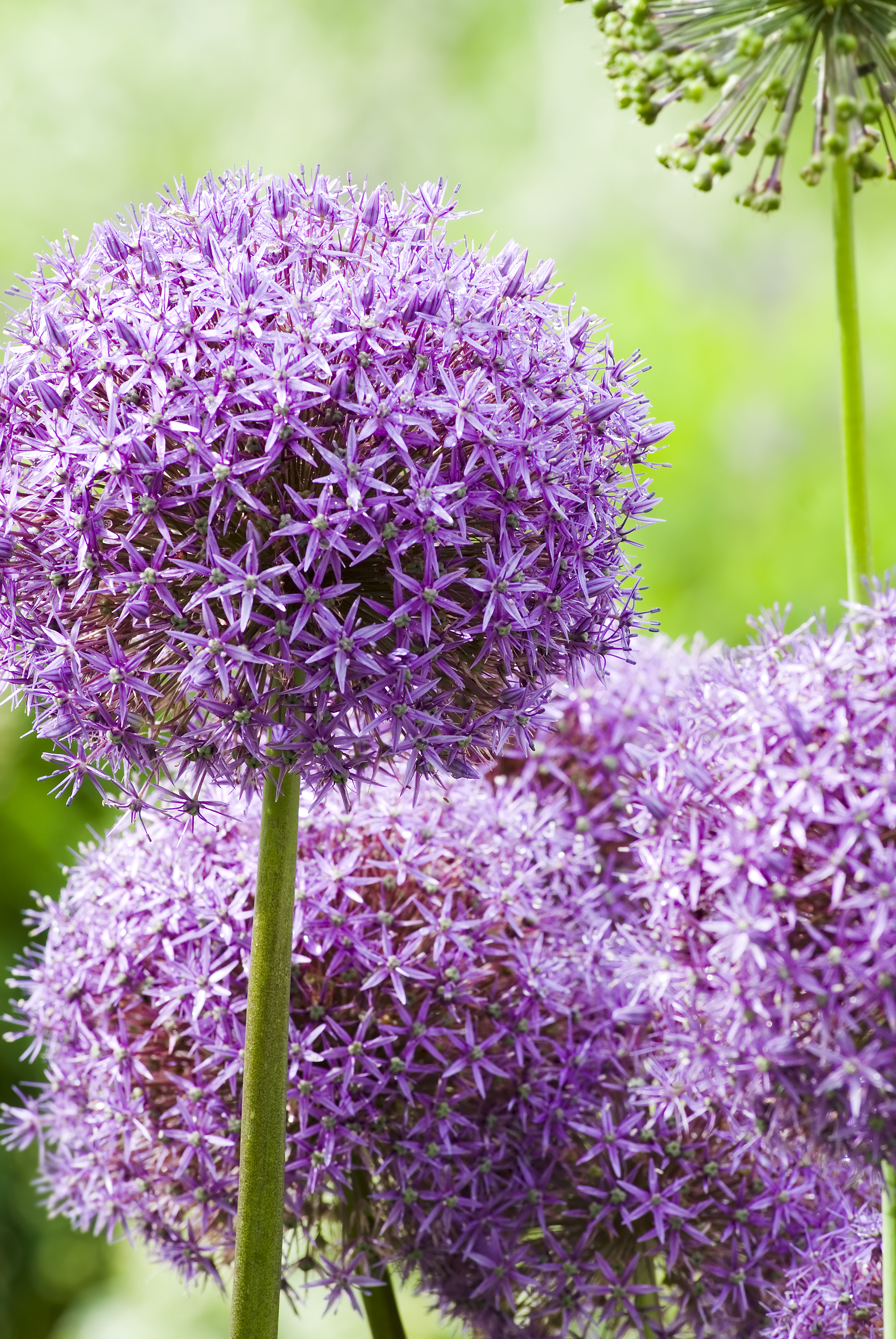 """Allium 'Globemaster' (Giant Allium) - Zone: 4-9Bloom size: 10"""" acrossHeight: 3-4'Plant: 6"""" deepSpace: 8"""" apartSun/Shade: Full sunBloom Time: May-JunePlacement: Plant with bearded iris, Siberian iris, peonies and other allium"""