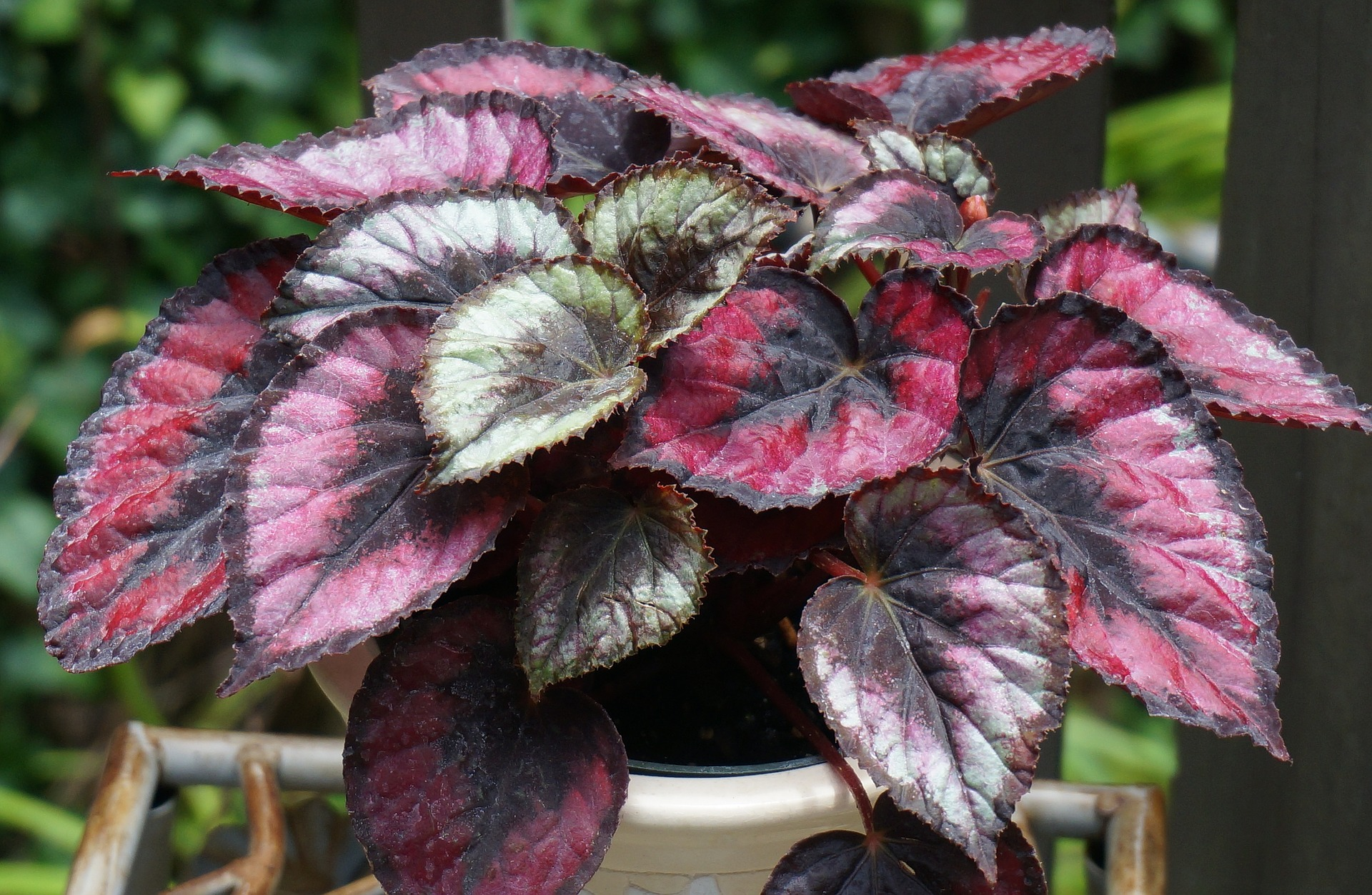 'Red Kiss' Rex begonia. Rex begonias love filtered light and I add them to the shade garden. They go into a spare room where the heat is turned off and the morning light is filters through. I water every other week, very lightly in the kitchen sink, letting them drain over night.