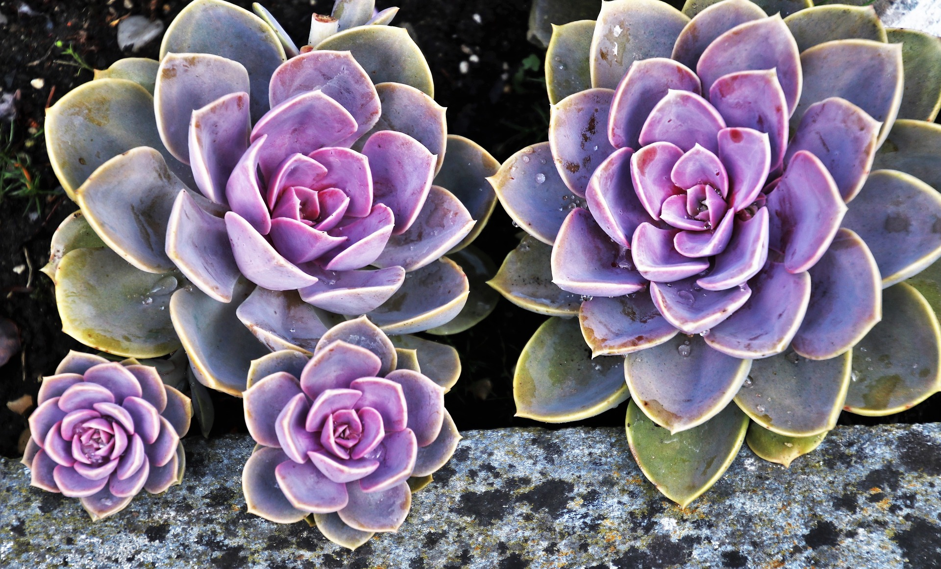 Succulents can be brought indoors. They need a very sunny window. Allow the soil to dry out between waterings, and do not fertilize until spring.