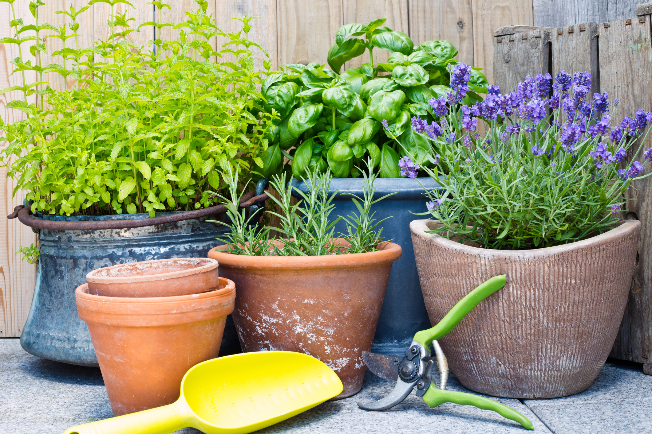 Small clay pots are perfect for growing herbs indoors. Get ones that fit on your window sills or consider hanging pots to accommodate growing more herbs. Since herbs are consistently snipped for cooking purposes, smaller pots are fine.