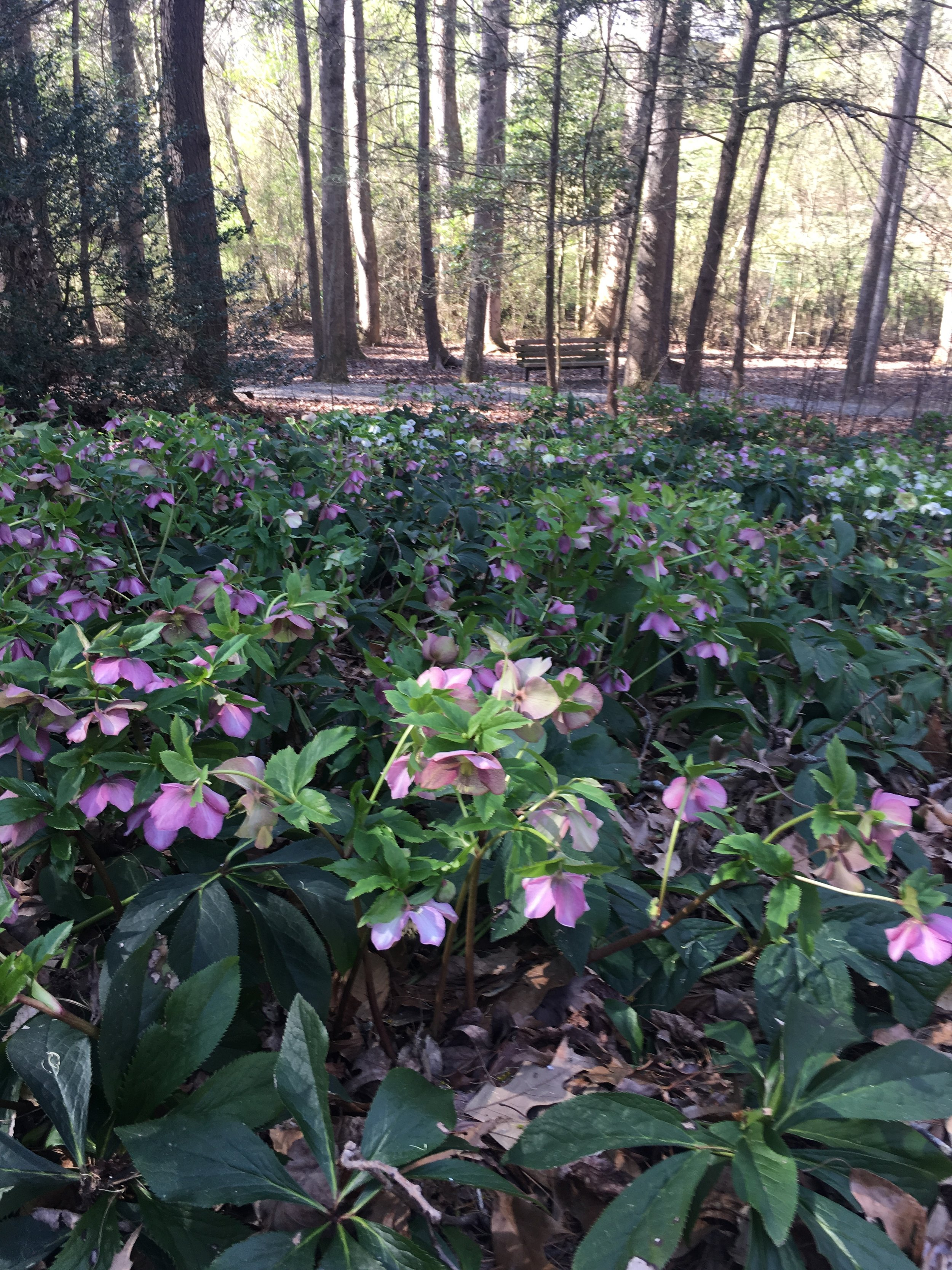 Hellebores prefer dry shade, bloom in winter, are evergreen, act as a groundcover and rarely need division. They are relatively pest and disease free making them an essential low maintenance perennial.