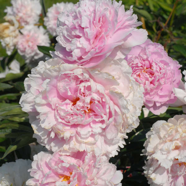 Sarah Bernhardt' peony, an old-fashioned tried-and-true pink favorite that blooms mid-spring. Peonies are very drought resistant and fuss free after being established.