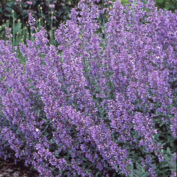 'Walker's Low' catmint requires full sun. It blooms heavy in spring, then blooms throughout the growing season into fall. Cut back after initial bloom for a fuller, longer bloom time.
