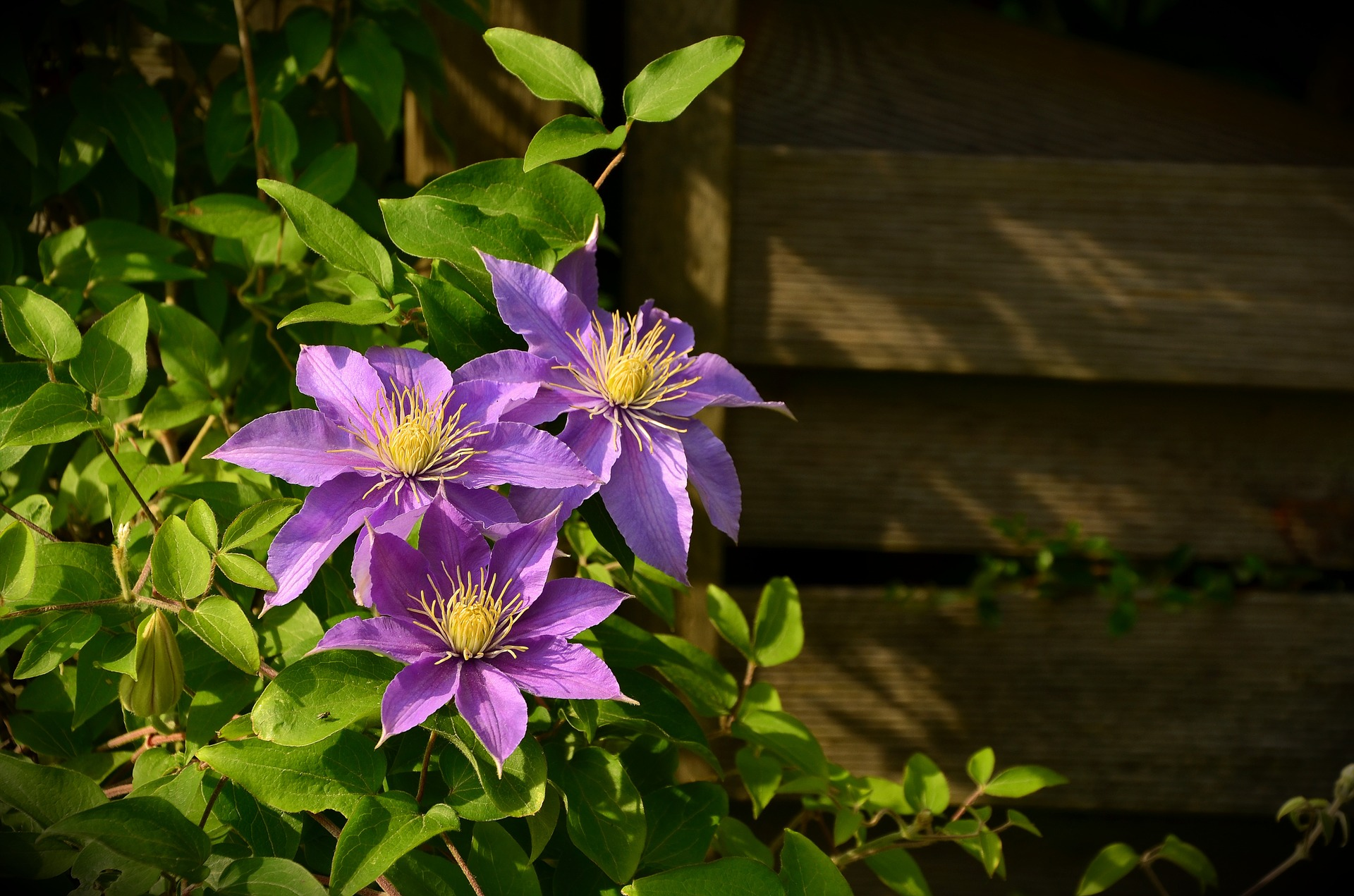 Clematis are easy to grow. Most are not aggressive vines and can be grown on simple trellises against the house for vertical enjoyment.