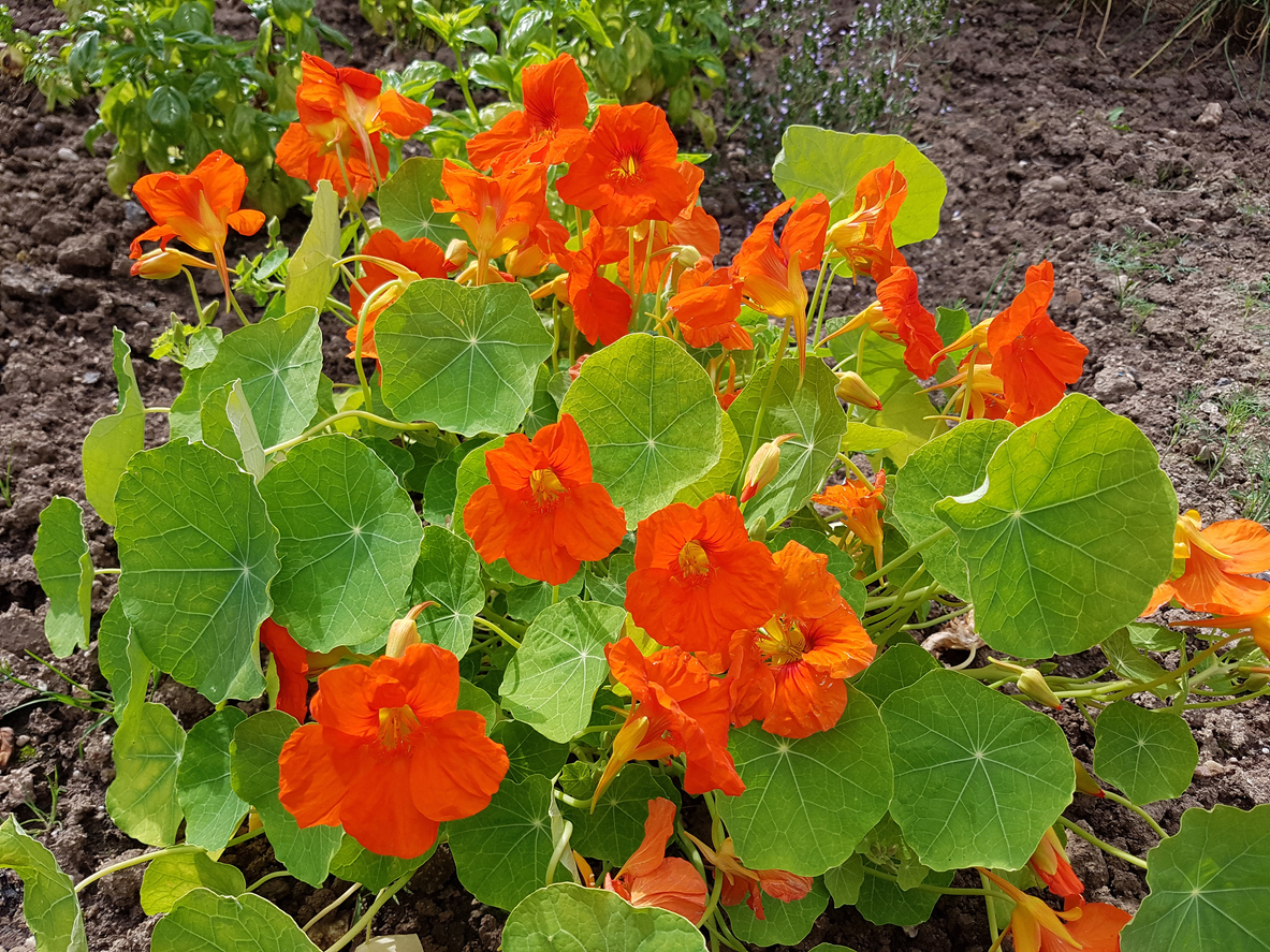 Nasturtiums - An annual in Western North Carolina, this flower grows as a vine or small, bushy shrub. It is quick growing from seed, but transplants are available. It is a full sun plant but can tolerate afternoon shade which it prefers in hotter areas. Very easy to grow, they thrive on neglect. Do not fertilize as they don't need overly rich soil, which produces more leaves than flowers. Consistent moisture but not damp is best.One of the most popular edible flowers, it is packed with vitamins A,C, and D. The flowers have a peppery taste that adds zing to salads, stir-fries, pastas, soups and even wine. The leaves are edible as well.