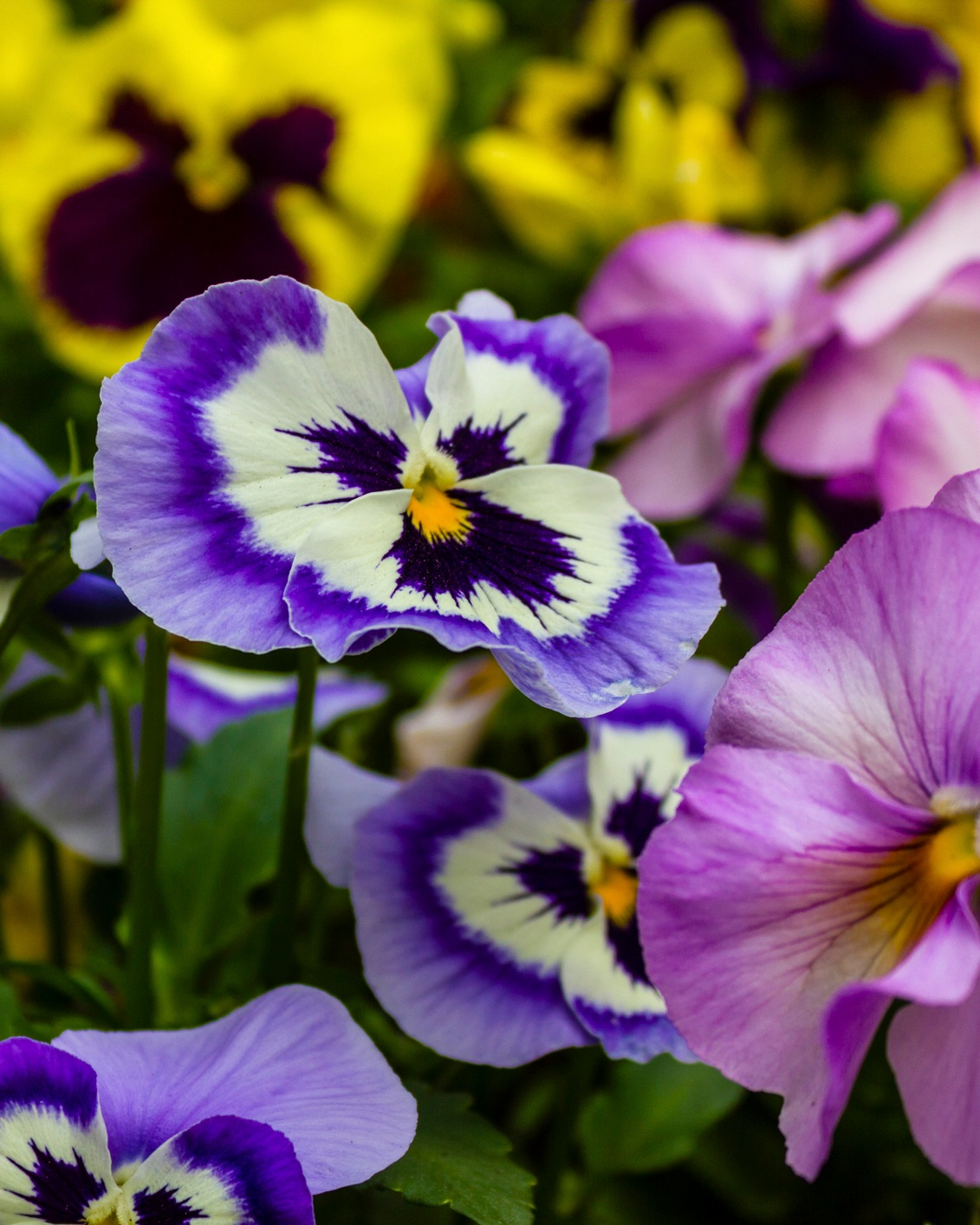 "Pansies - A cool season flower that is very easy to grow from seed or transplant. Although, because they are cool season, starting with transplants saves time in the shorter growing season. Flats of pansies in 2"" starter pots are readily available.Pansies need full sun and are planted in early spring or fall. They wither in the summer heat. They can withstand a frost or freeze, and don't mind a little bit of snow. Grow them in containers, annual beds or as groundcovers.Fertilize every 7-10 days for optimal bloom.Water weekly and consistently. Lack of water is the number one reason most pansies do not thrive.Pansies are a favorite for cake decorating, tossed with salads, sugar coated, and added to soups."