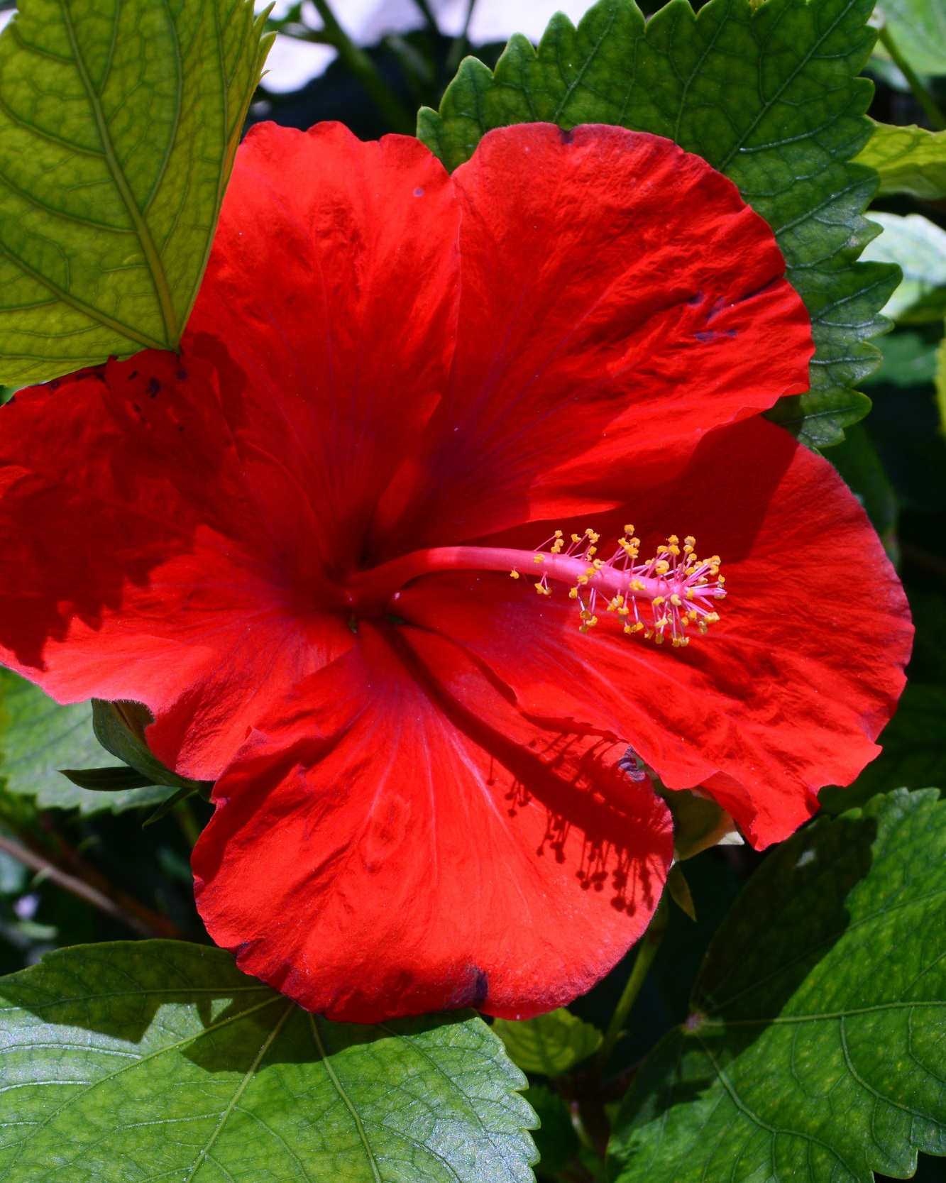 Hibiscus Flower - HIbiscus sabdariffa or Roselle is a sun-loving shrub that is grown perennially in zones 8-11. For Western North Carolina, it is an annual that is easily grown from seed or transplant. Part of the mallow family, it's growth habit resembles okra. Due to an influx of hybrid hibiscus, stick with Roselle when growing hibiscus as an edible flower. It is the most common edible one, using the calyxes, leaves and flowers in recipes from teas to jams.This shrub loves sunlight, and consistent water. It can reach 6'-8' tall so give it lots of room. Place in an area that doesn't get a lot of wind as its branches snap easily.It flowers beginning in July and will continue through early fall.It's most popular use is for hisbiscus tea which is rich in vitamin C.