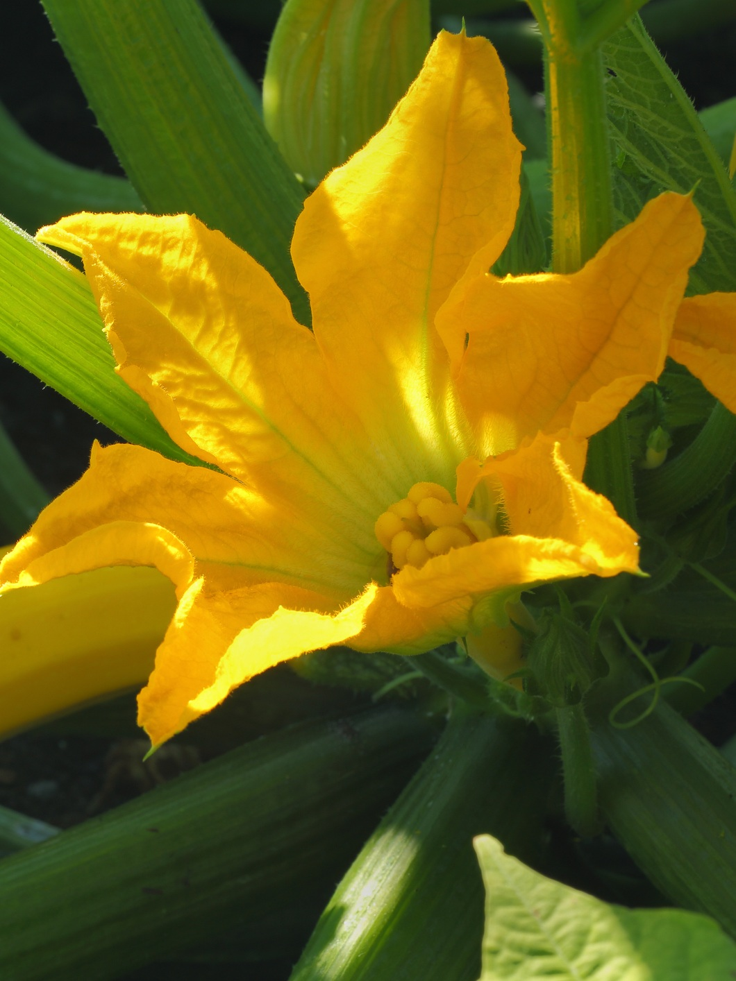 "Squash Blossom - Many of us have grown squash but did you know their flowers are edible too?Both summer and winter squash have edible flowers and both the male and female flowers can be eaten. This truly is the plant that keeps on giving.When harvesting the flowers be sure to leave enough of the female flowers to have fruit. Look closely before picking and you should see a small squash forming under the female flowers.Squash plants are easy to grow from seed or transplants. Full sun and consistent water is needed, but the plants do not want to be wet. It's best to mound the plants, 12""-18"" above soil line for better drainage and air circulation for vines.Squash blossoms are great fried, stuffed with cheese and baked, added to pasta dishes and quesadillas."