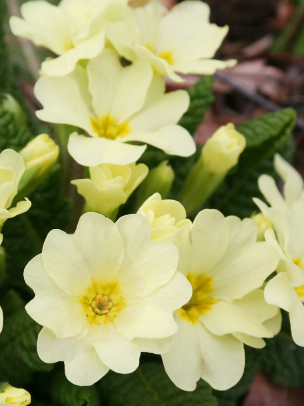 Primrose - Wild primroses are yellow and signal a new season of food and warmth as they are the first flower of spring. The wild primrose is a popular food to forage and use as an edible flower, although all colors of primrose are edible.These flowers are best from transplants. They are low-growing, dense perennials with rough leaves that like full sun to light shade. Plant in a spot that gets full sun in early spring but shade in summer—they don't like the heat.The flowers are used in cake or pie decorating, coating them with sugar and baking them first.