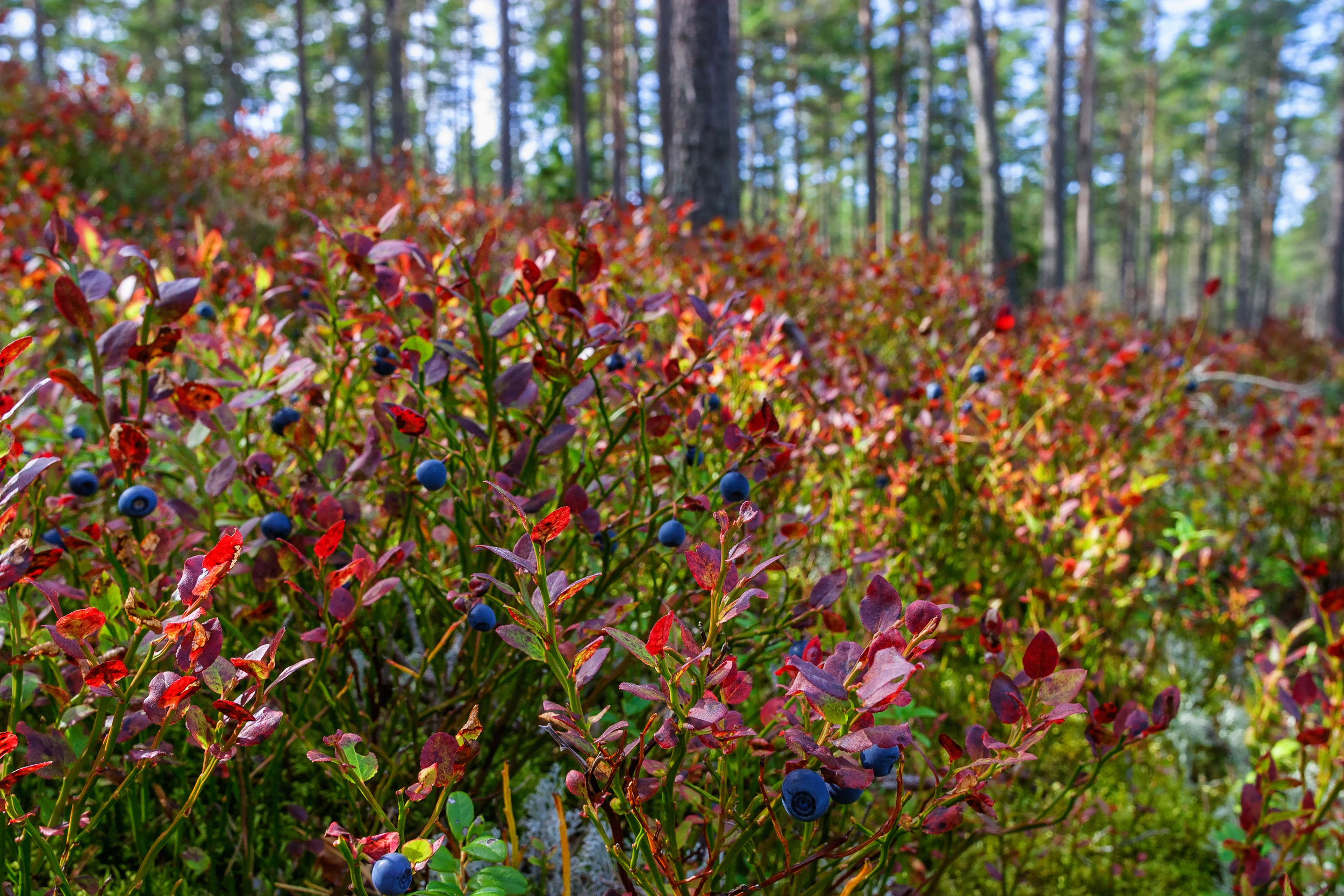 Blueberry bushes in the fall add color to the landscape. Their spring blossoms are beautiful and they're easy to maintain. The berries are the bonus. Even if you decide the birds can have them, they're worth the real estate in your landscape.