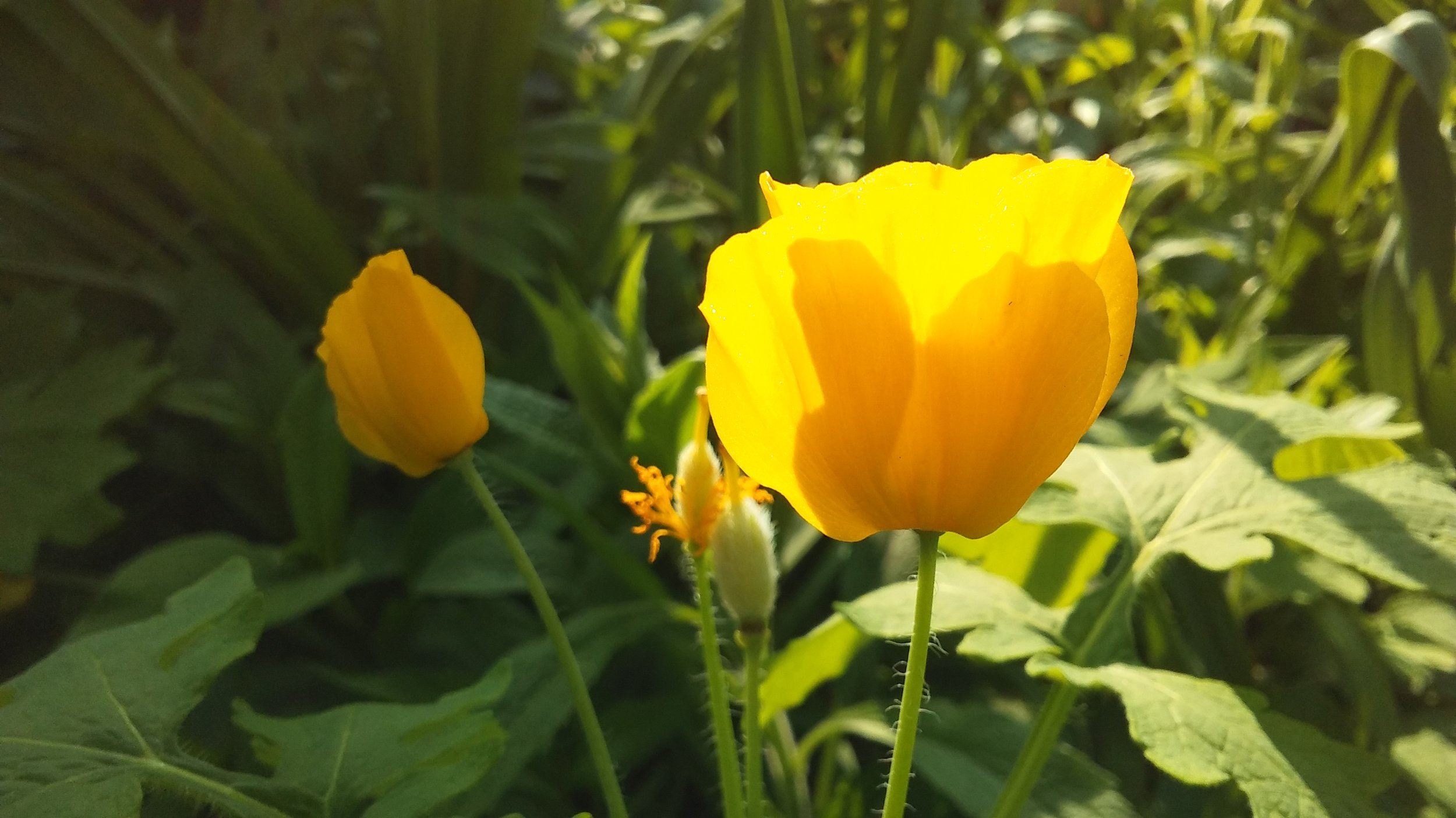 Wood (Celandine) Poppy