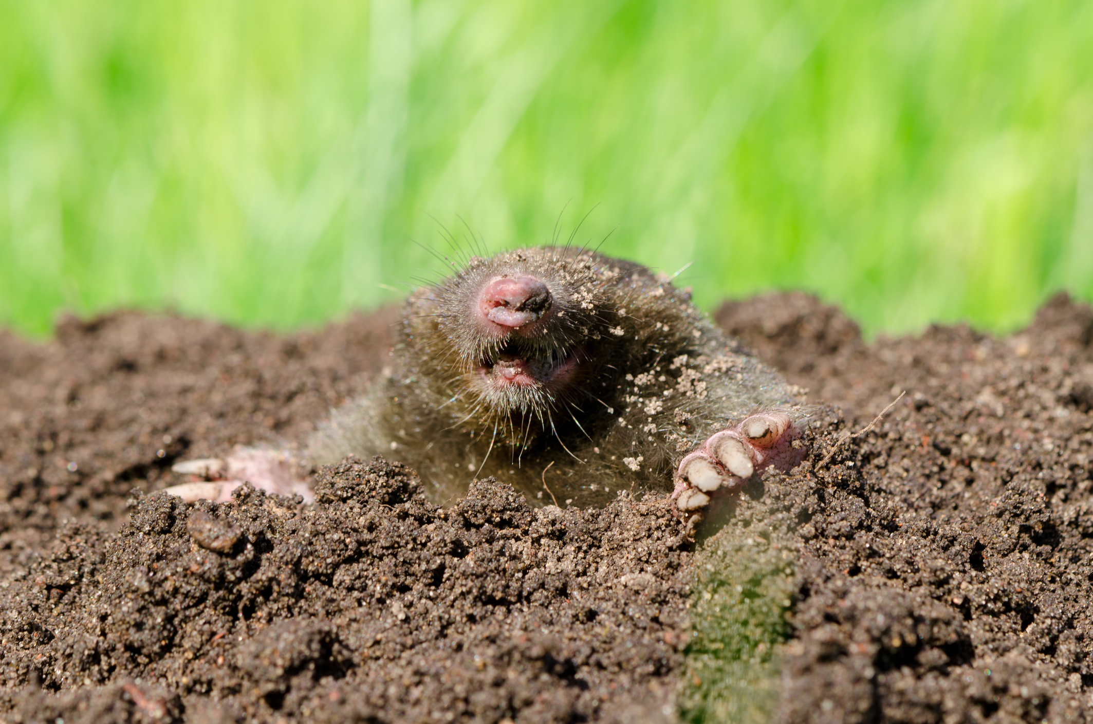 Moles spend almost the entirety of their lives underground. We discover them when we trip over one of the mole tunnels or holes that show up in our perennial beds or lawns. Stepping into a mole tunnel can twist an ankle pretty quick.