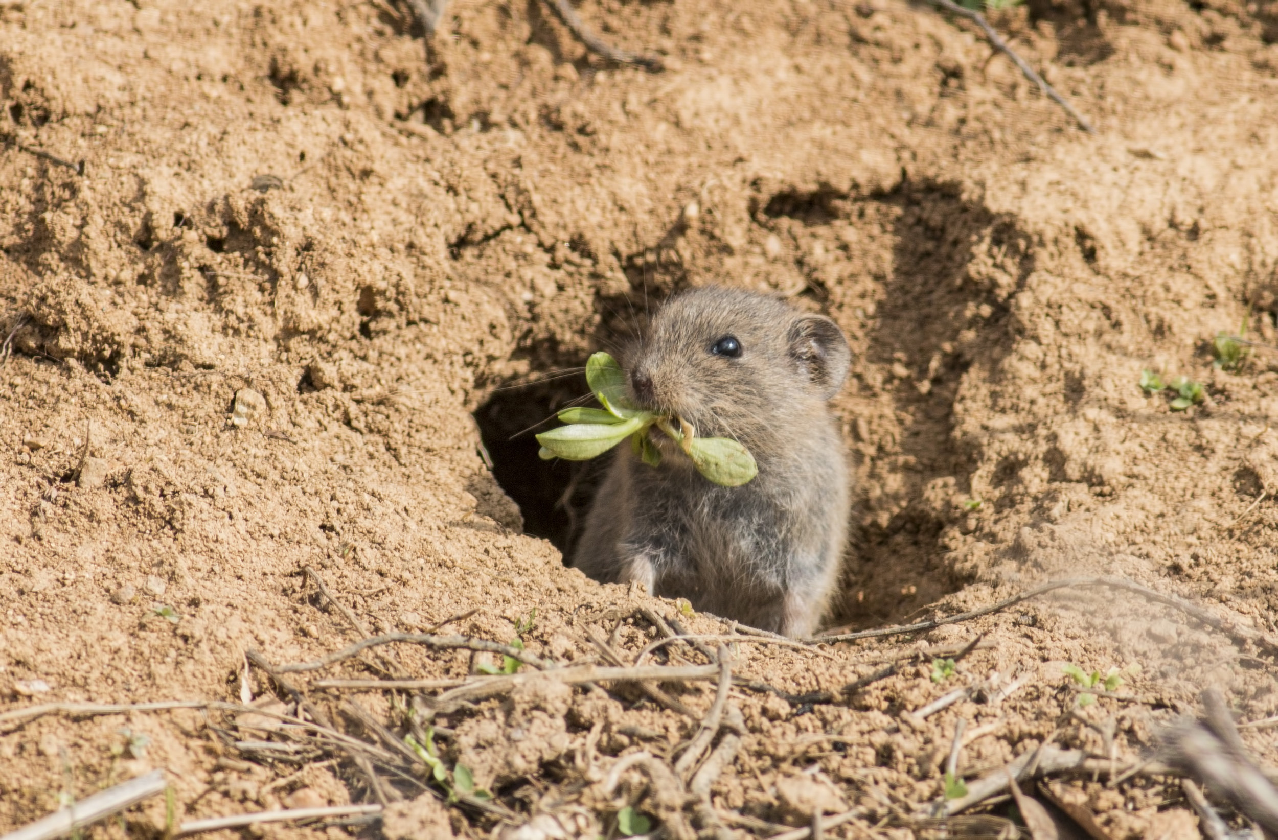 Voles look very much like mice that love to eat your garden treasures.