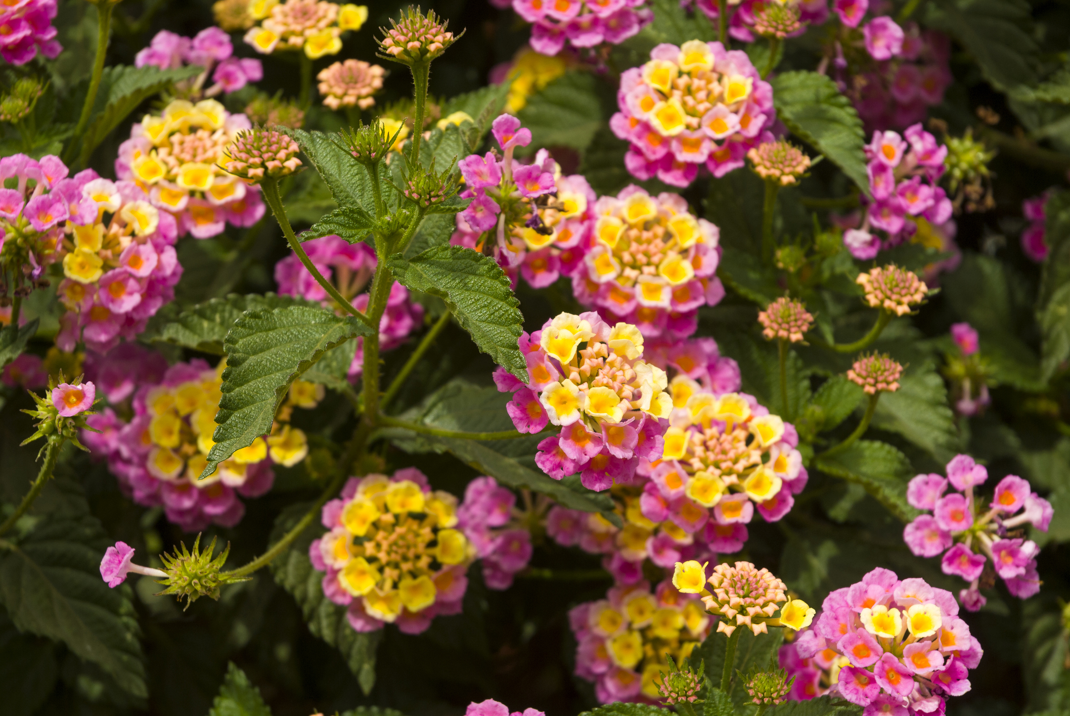 Lantana - Lantana is a perennial in zones 9-10 but in our zone 7 (Asheville is a zone 7, with higher elevations going as low as 5) we treat it as an annual. it is used in hanging baskets, containers and for a big pop of color in the landscape, often around mailboxes. It has vibrant blooms, and is upright and bushy or trailing. Lantana is planted alone or in combination with other annuals. It does sometimes reseed. It is drought resistant and butterflies love it.