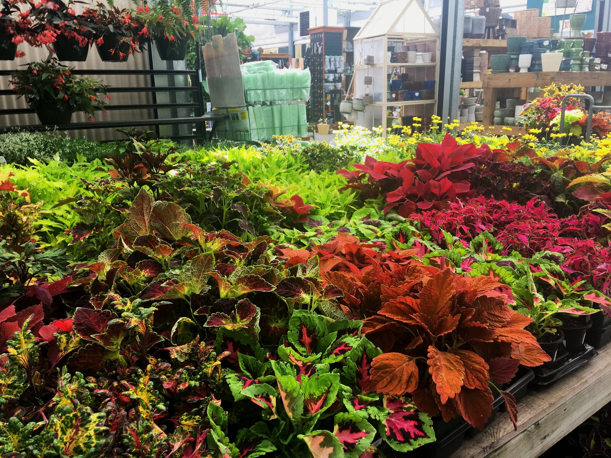 There's a coleus for everyone.