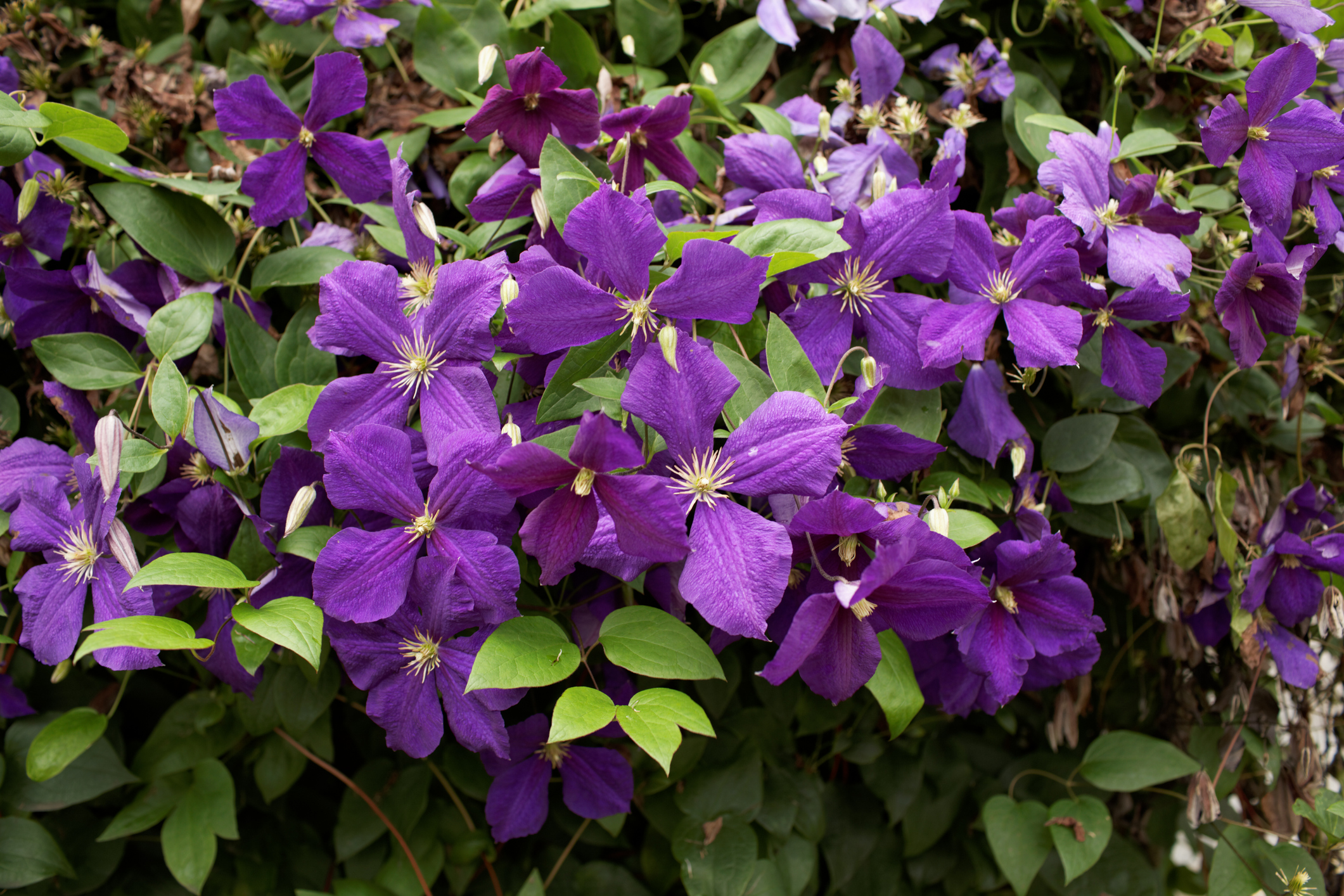 Clematis Jackmanii flowers on old and new wood, putting it in group 2 and 3. This means pruning lightly right after blooming and every few years, pruning it to the ground for rejuvenation. When pruning hard in fall or early winter, expect blooms to be reduced until the plant has time to reestablish.