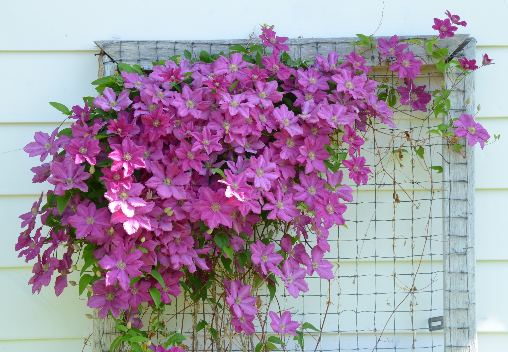 A wire cage works as a trellis for clematis. It' doesn't have to be a decorative trellis, but can be very simple so long as the clematis can climb.