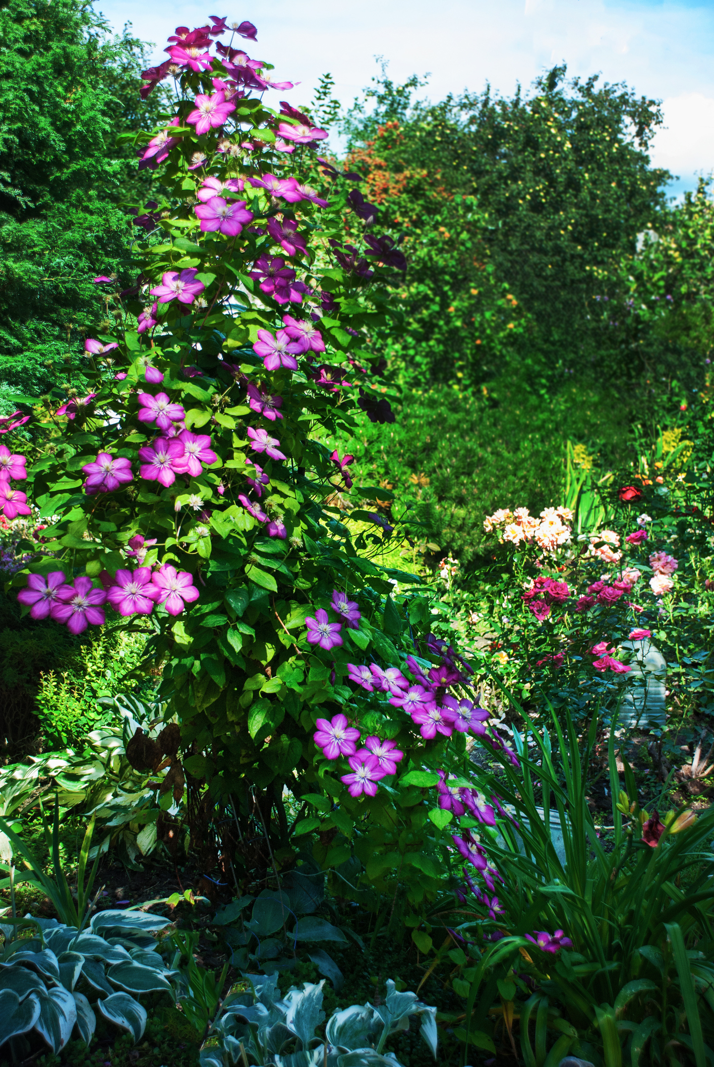 Hostas and other perennials are good protection for the roots of clematis.