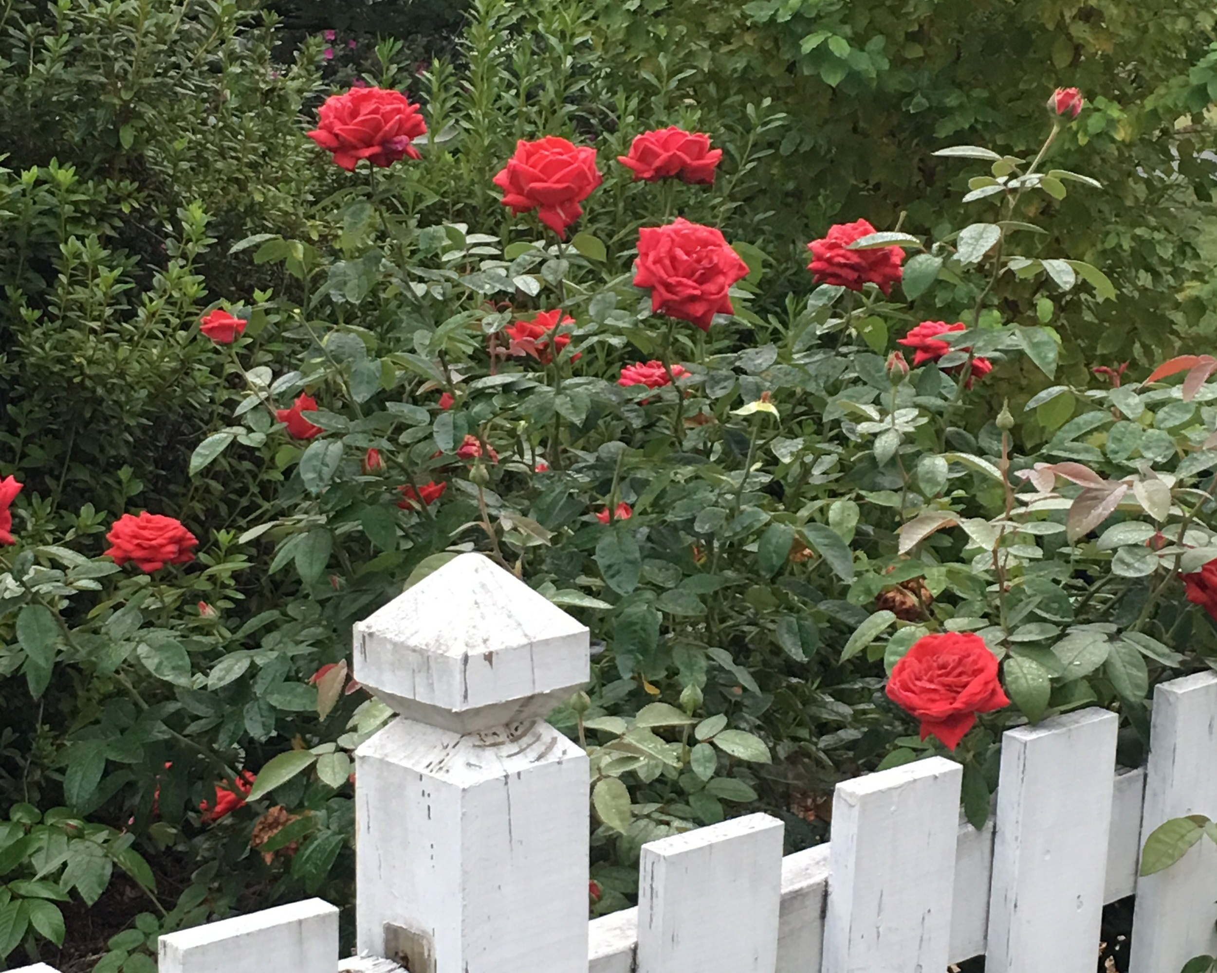 Shrub roses that bloom all season give great color. Use a once-a-month fertilizer to help keep shrubs blooming prolifically. Keep deadheading spent blooms and prune when necessary to keep shrub in check and remove diseased leaves or broken/dead shoots.