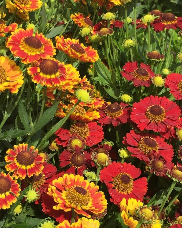 Helenium 'Mardi Gras' attracts butterflies and blooms non-stop from mid-summer through fall.