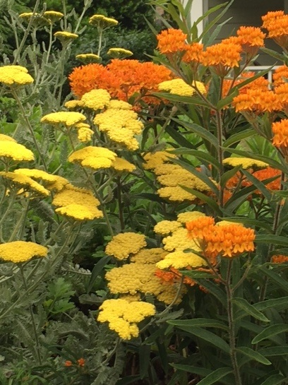 Summer classics yarrow and butterfly weed. A great plant combination and pollinator for bees and butterflies. Leave seed heads for birds in winter.