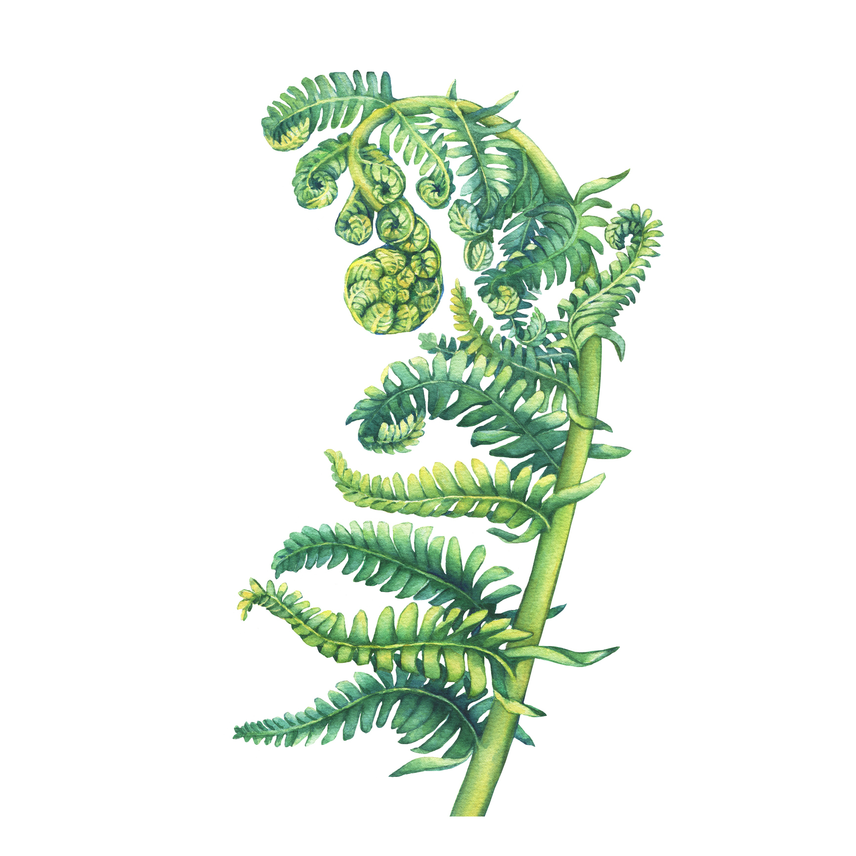 Ferns: Deer Resistant, Evergreen, Beautiful