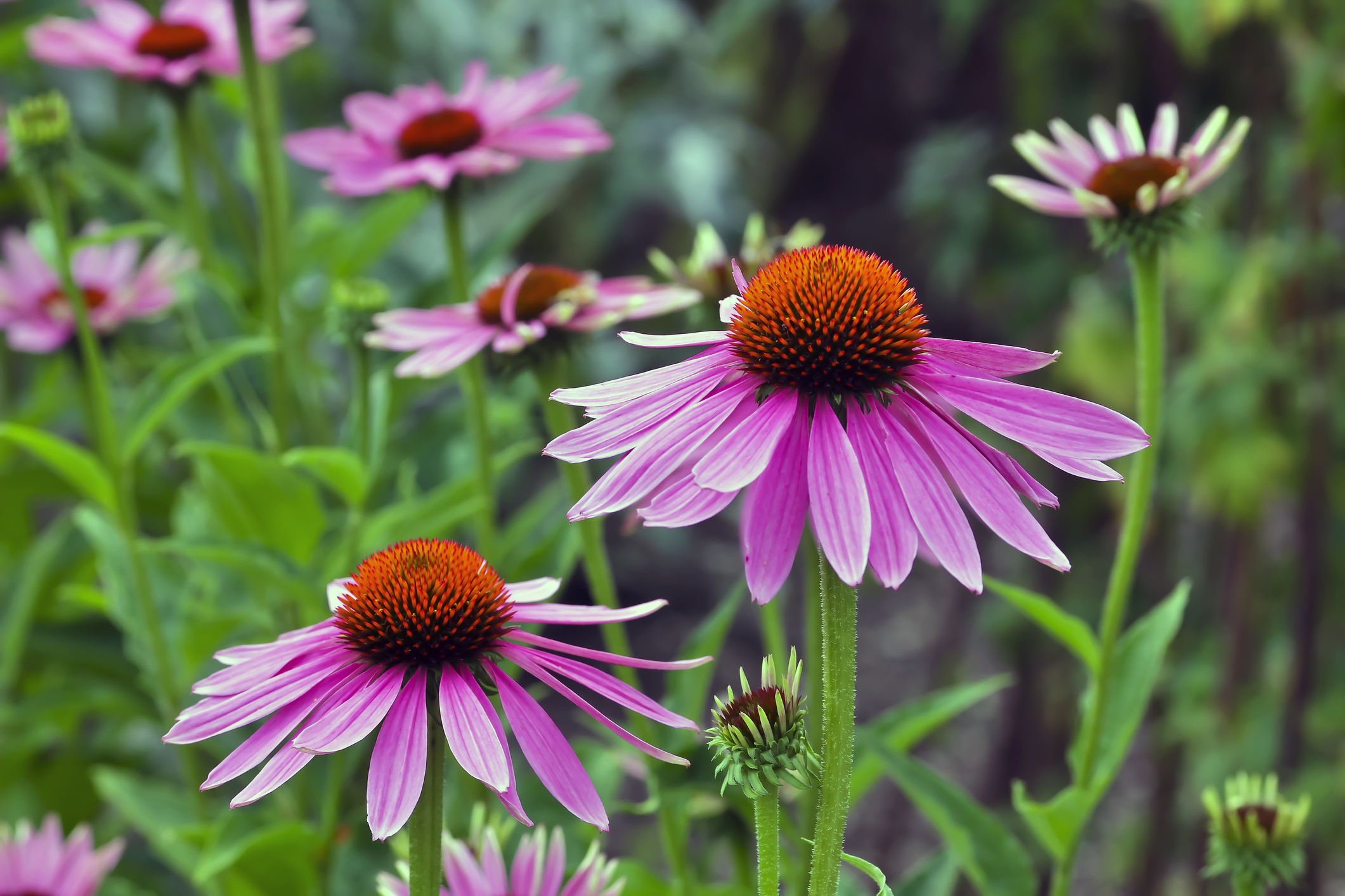 Classic Summer Flowers That Are Deer Resistant
