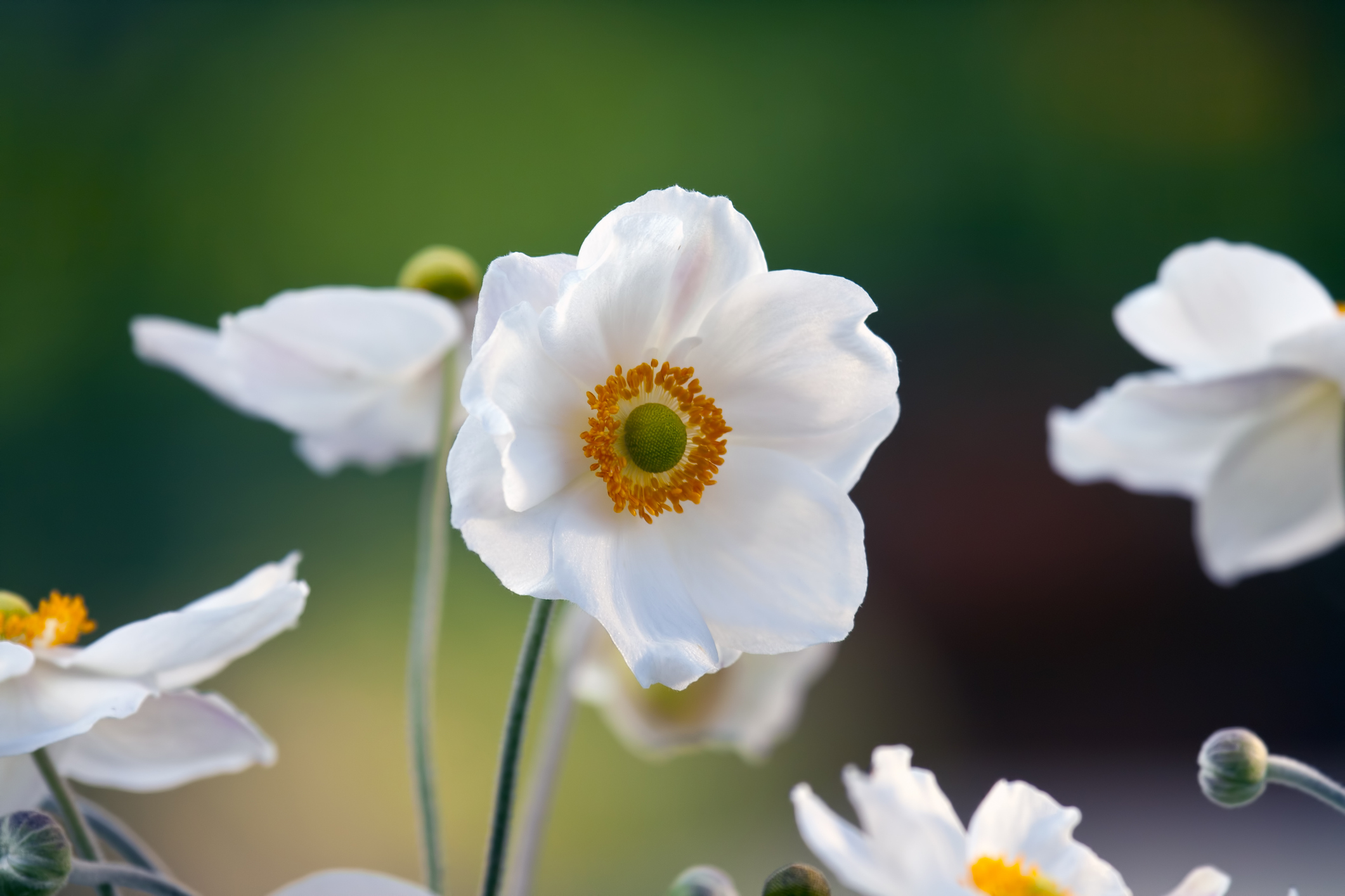 Anemone 'Honorine Jobert' the perfect fall flower.