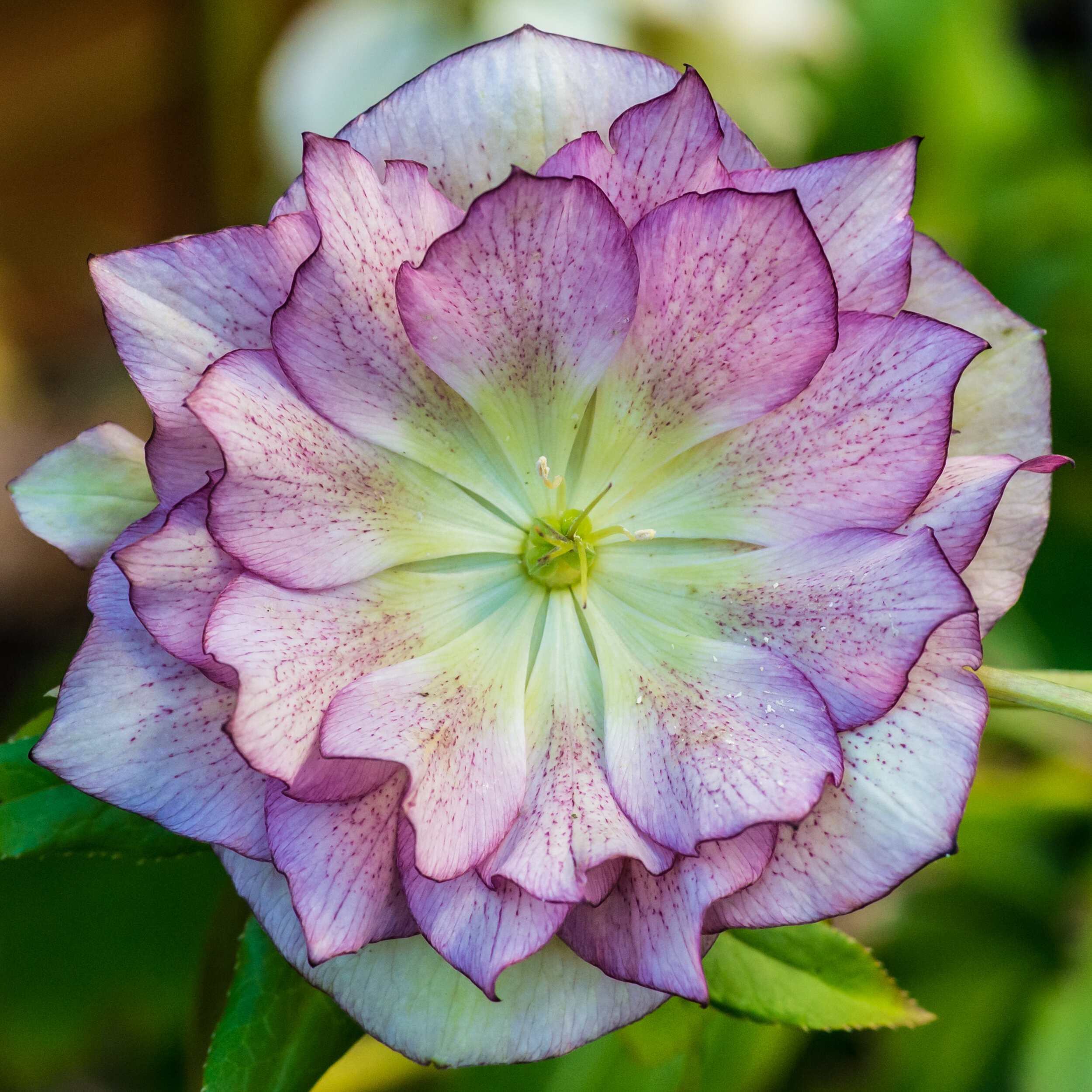 Hellebores are the perfect perennial. They prefer dry shade, are evergreen and bloom in January, holding their bloom through March and even into April. They make an excellent groundcover. Check out how easy they are to grow   here  .
