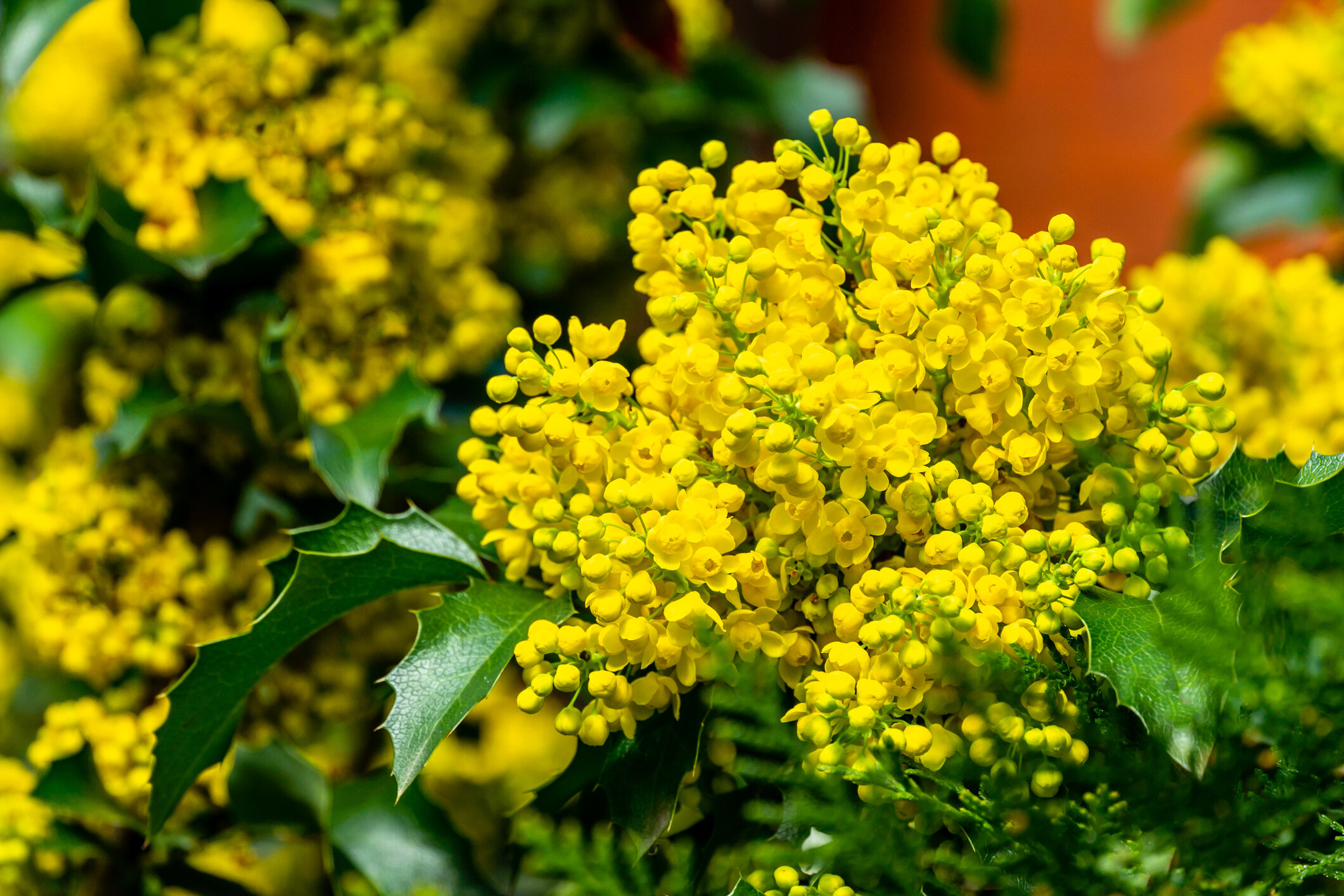 """Mahonia aquafolium  blooms in February/March, with brilliant clusters of yellow blooms. It has red fall color with dark blue """"grape-like"""" berries in fall, giving it it's common name—Grape leaf holly."""