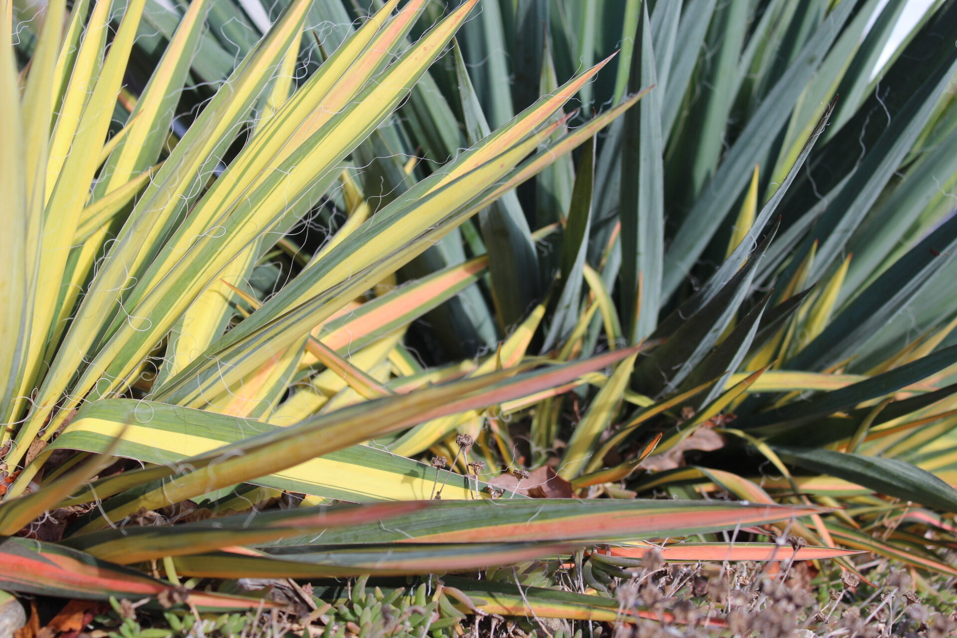 Yuccas are evergreen, colorful and drought tolerant, maintaining their bright colors year-round. Color hues do get deeper with cooler weather but these plants are a standout year-roun.. They work well with succulents and in gravel gardens.