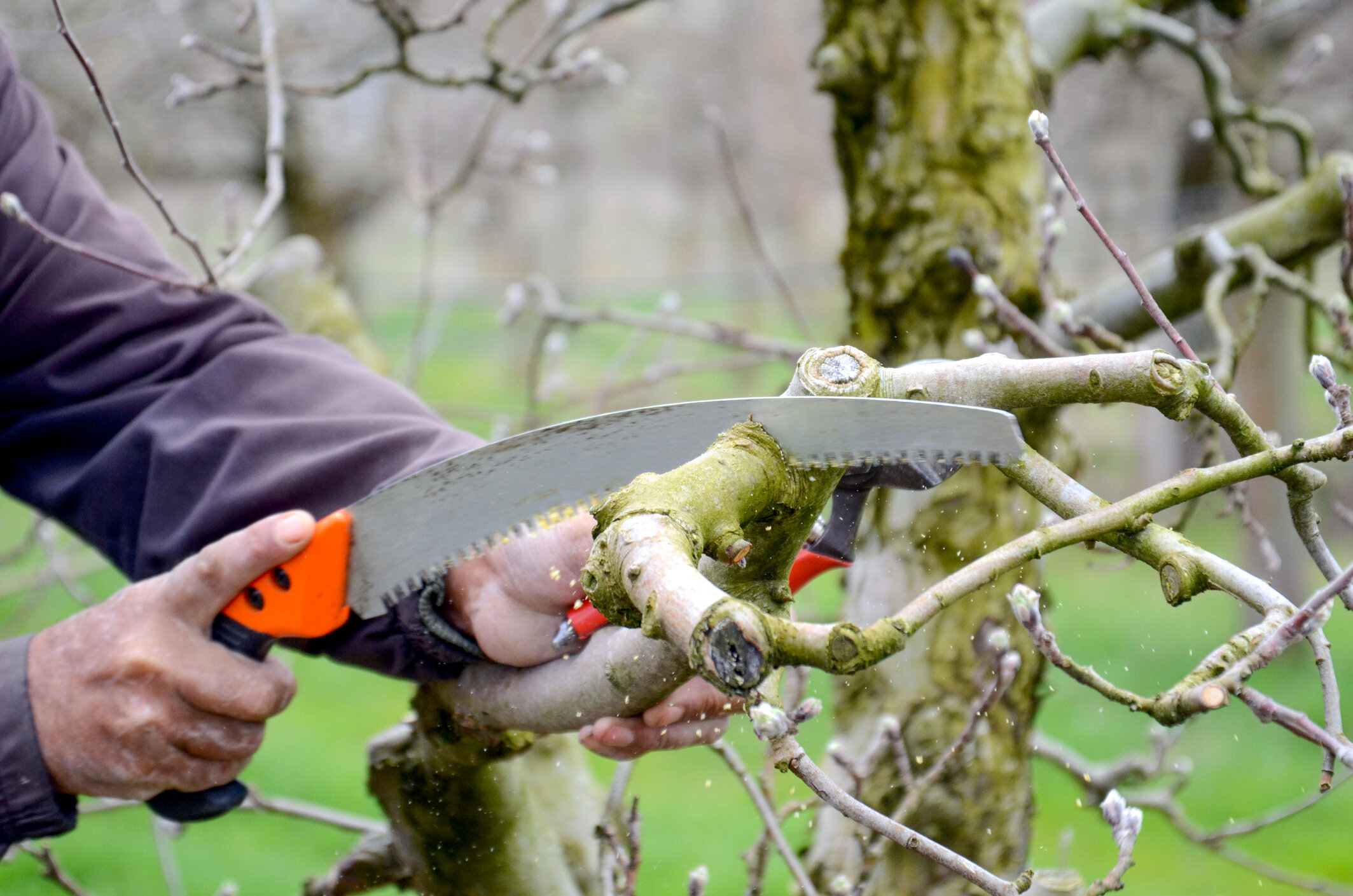 Tools for pruning are fairly simple: a pruning saw, a pair of loopers and hand-held pruners, possibly shearers if you pruning formal hedges. For a few must-have tools check out   this blog.