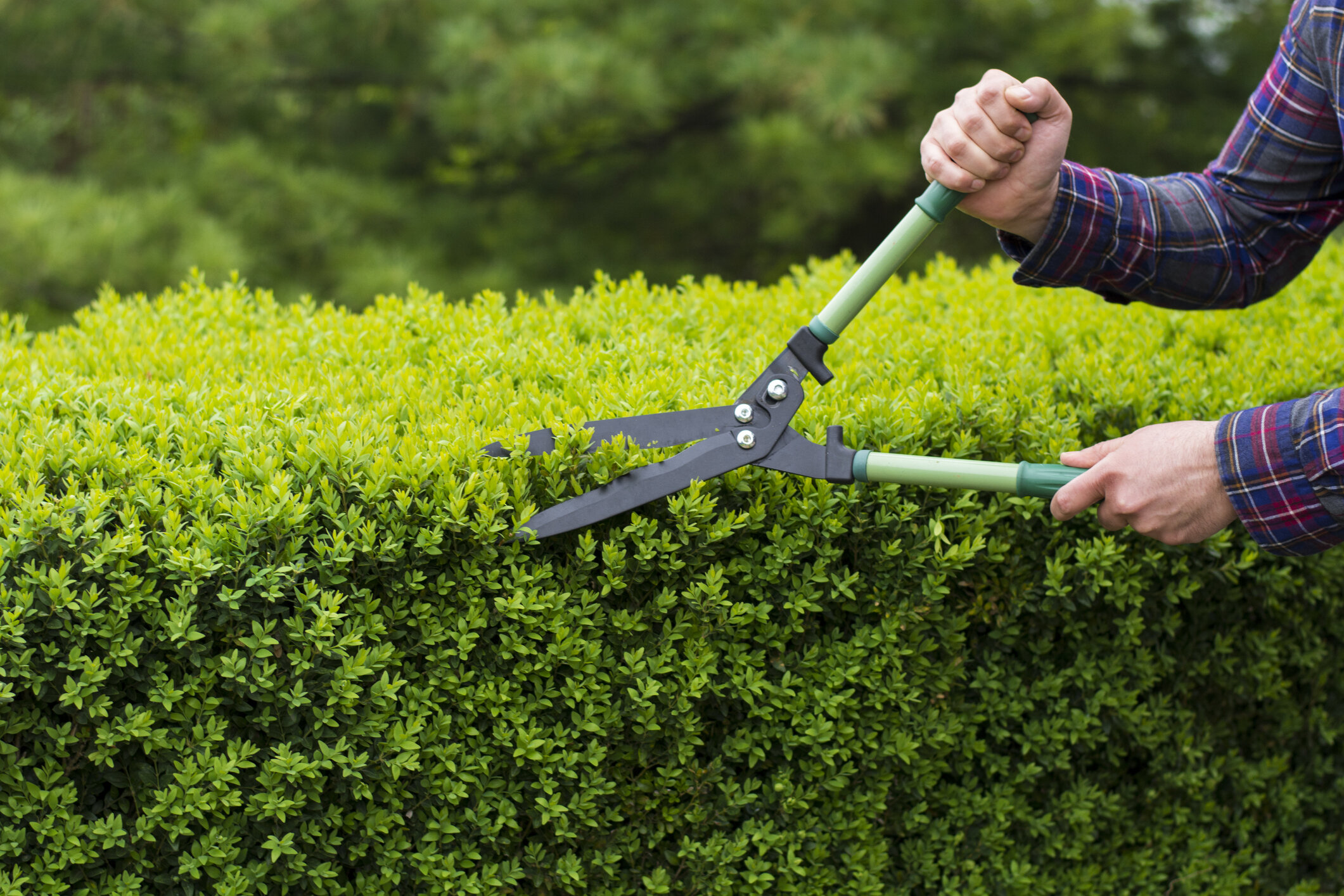 Shears are necessary for formal hedges.