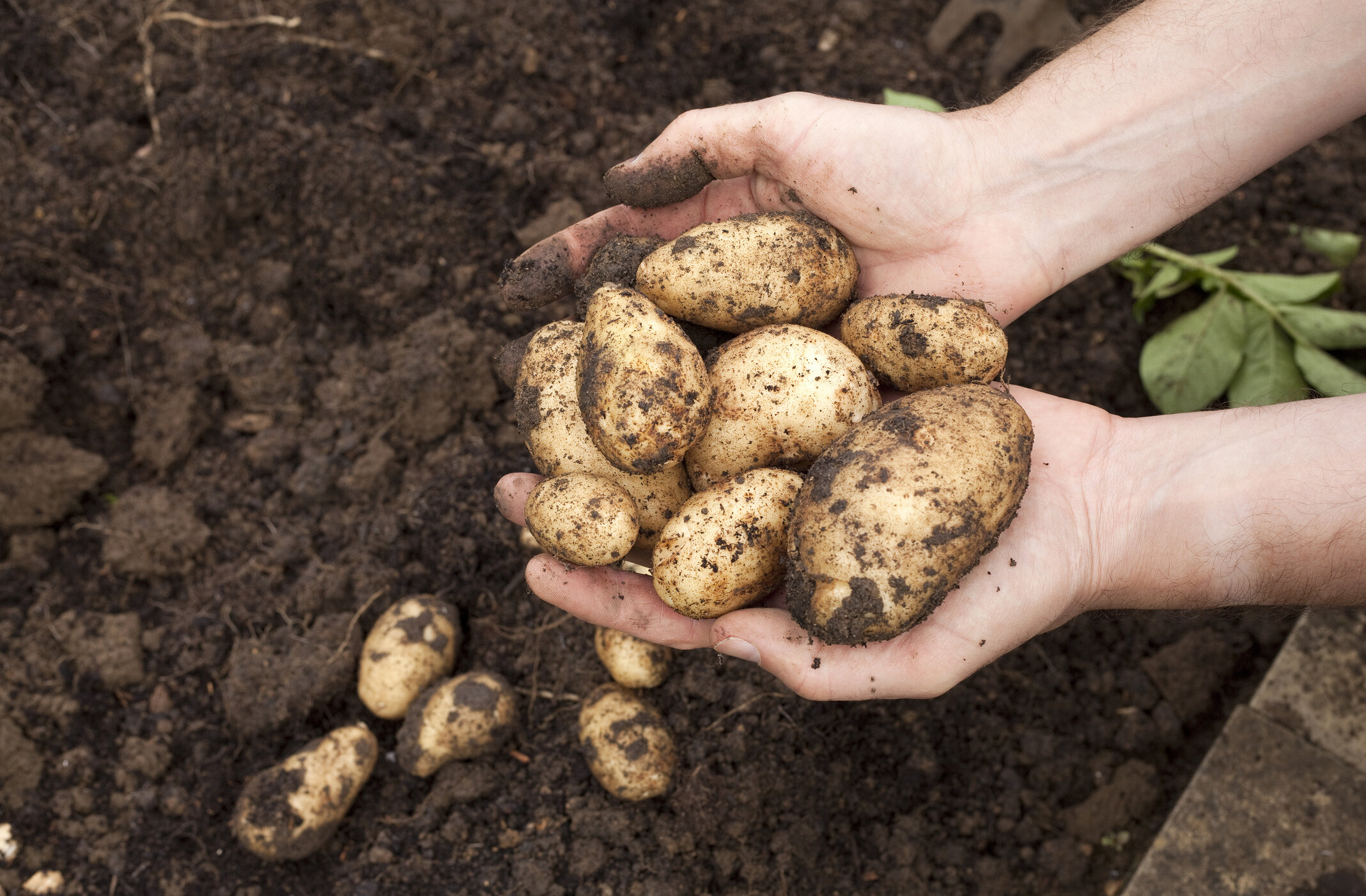 Potatoes are easy and fun to grow especially if you're a beginner. Don't have the space? Grow them in containers and then when it's time to harvest, simply turn the container over and dump them out.