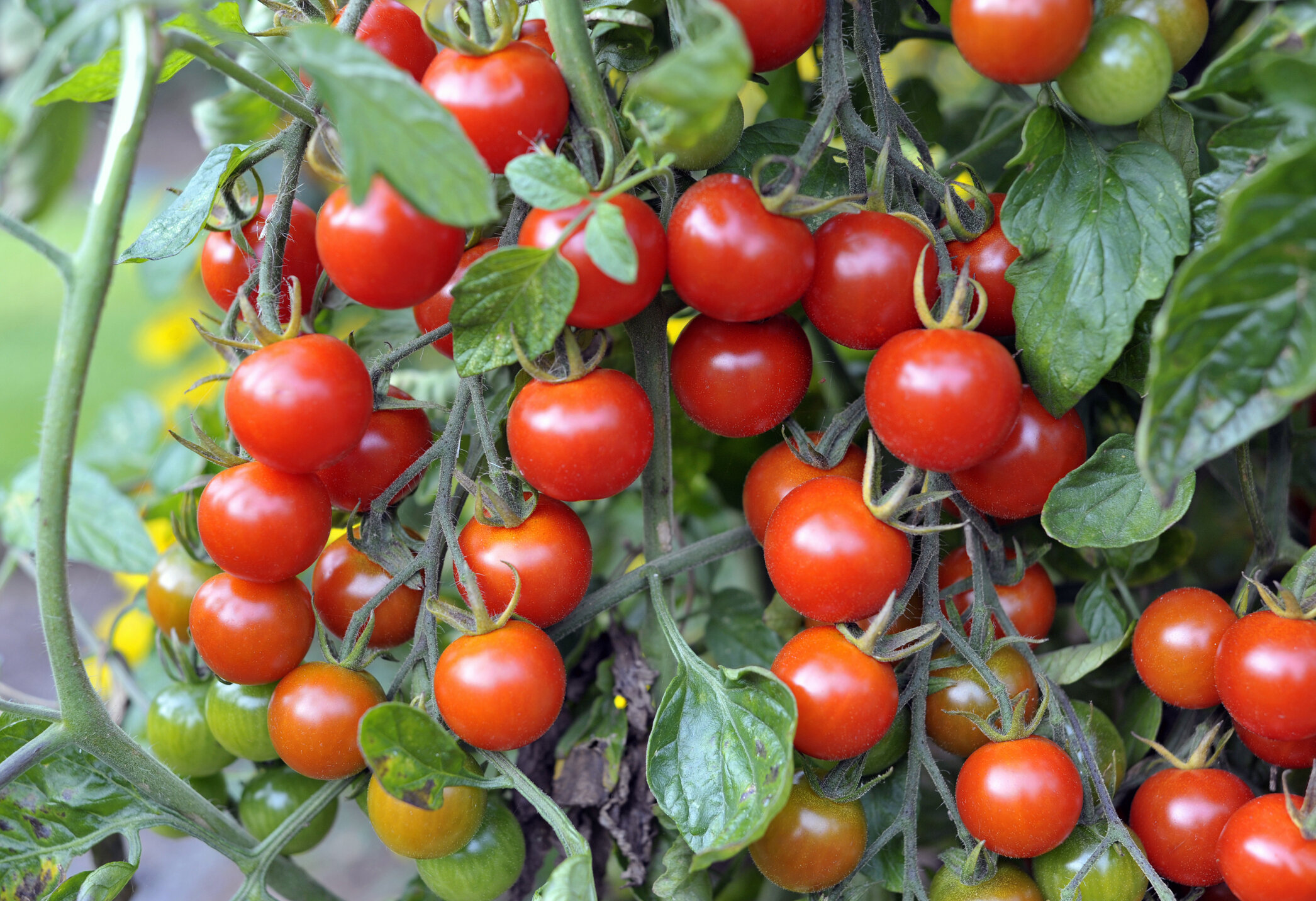 Cherry tomatoes are a must in any beginner gardener's garden. They are prolific producers and often reseed, giving the gardener a second bountiful year. There are blight reisitant varities. Be sure to ask.