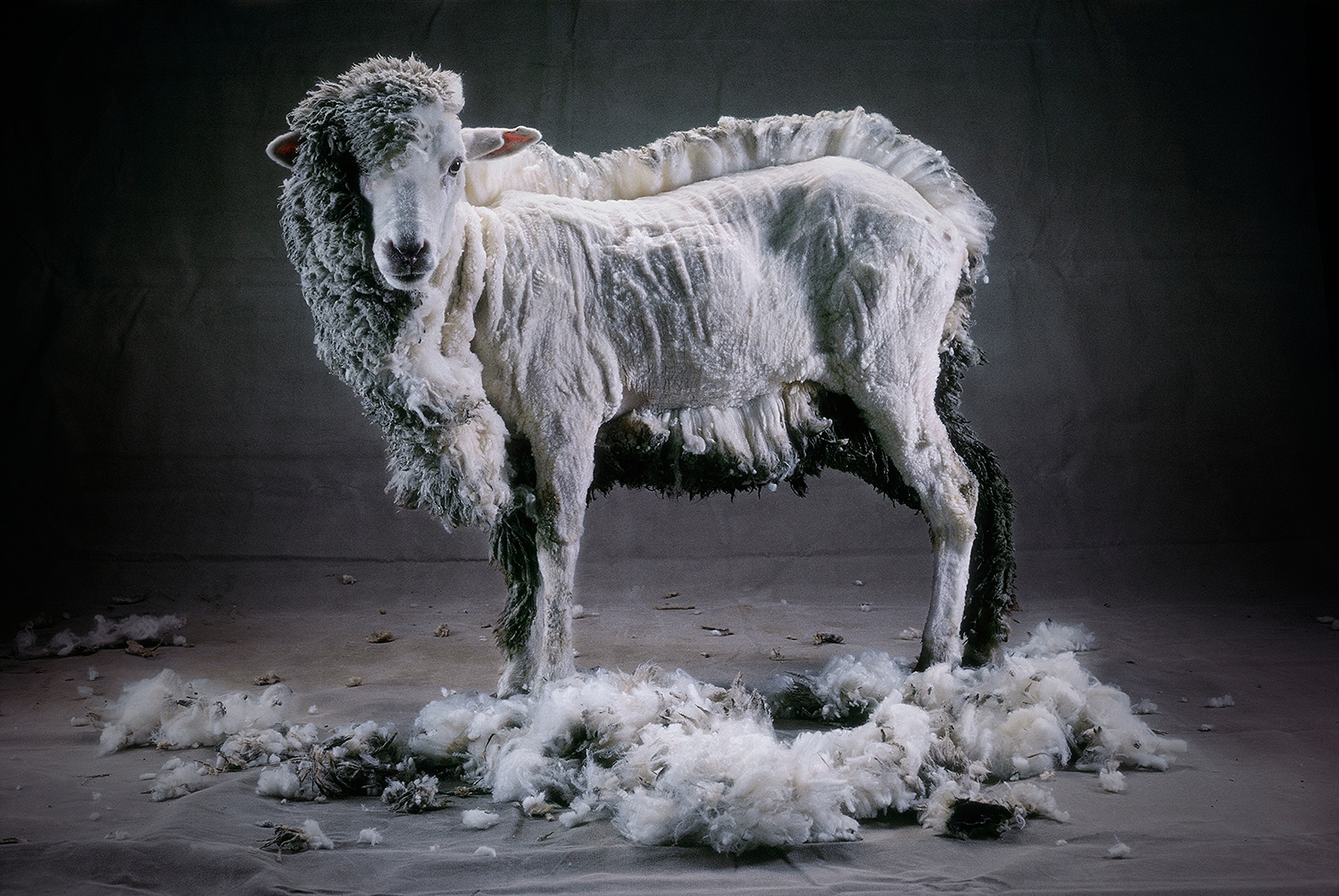 Half Shorn Sheep  by Cary Wolinsky